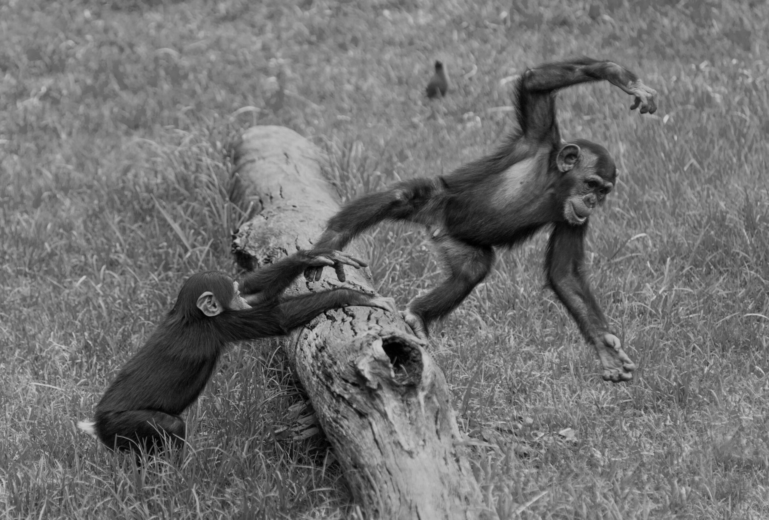 Black and white image of juvenile chimpanzees