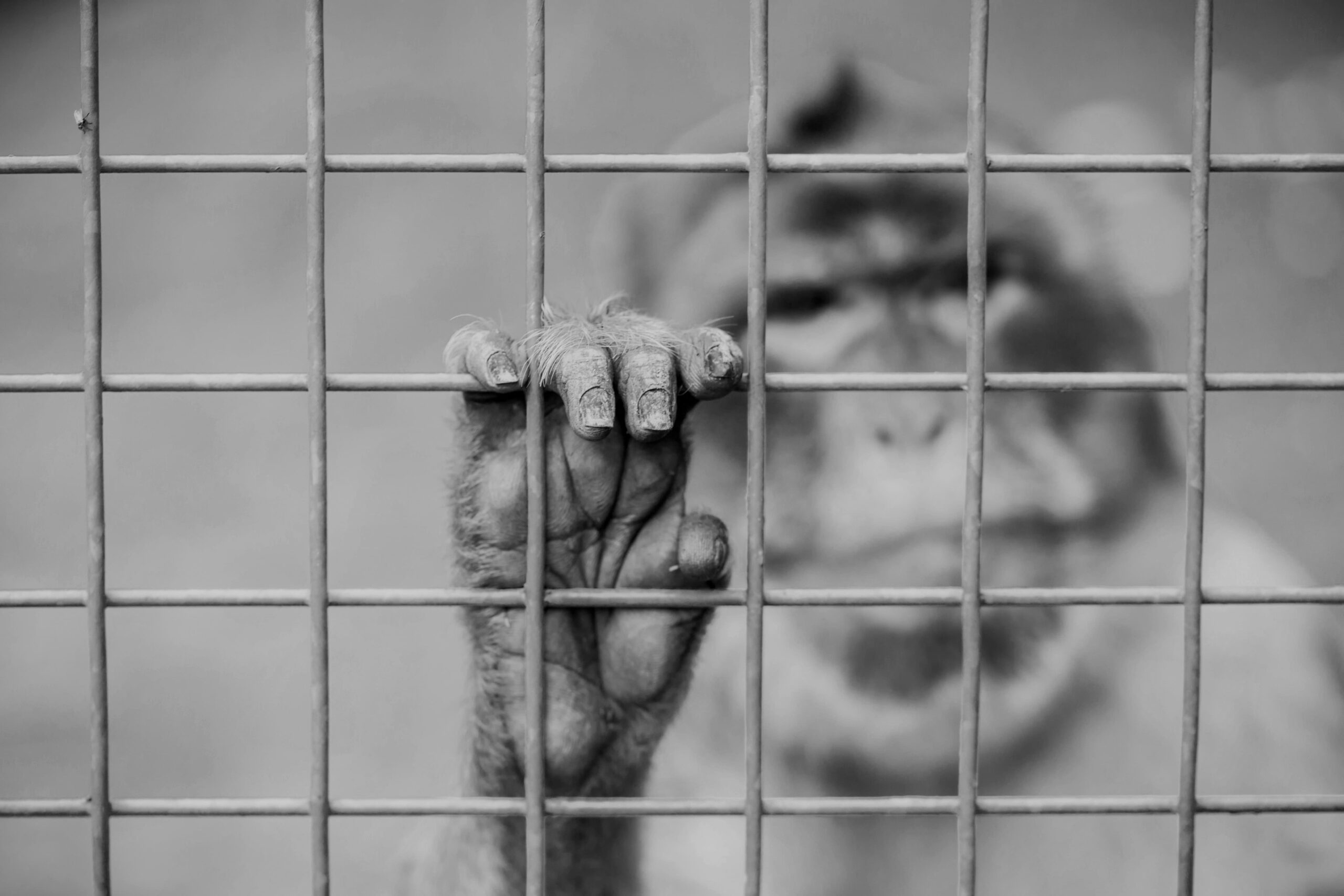 Black and white image focused on a monkey's hand