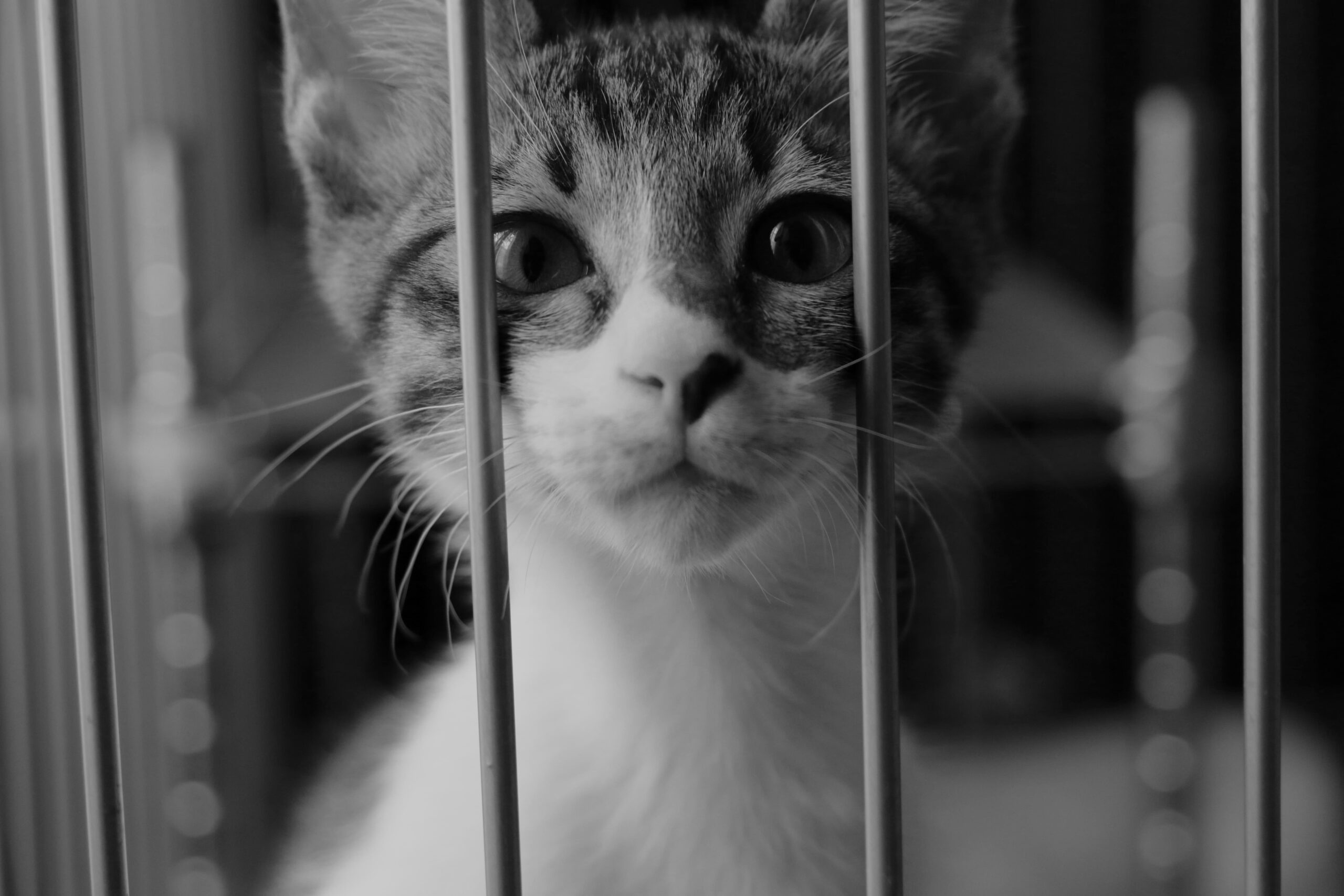 Black and white image of a cat staring outside its cage