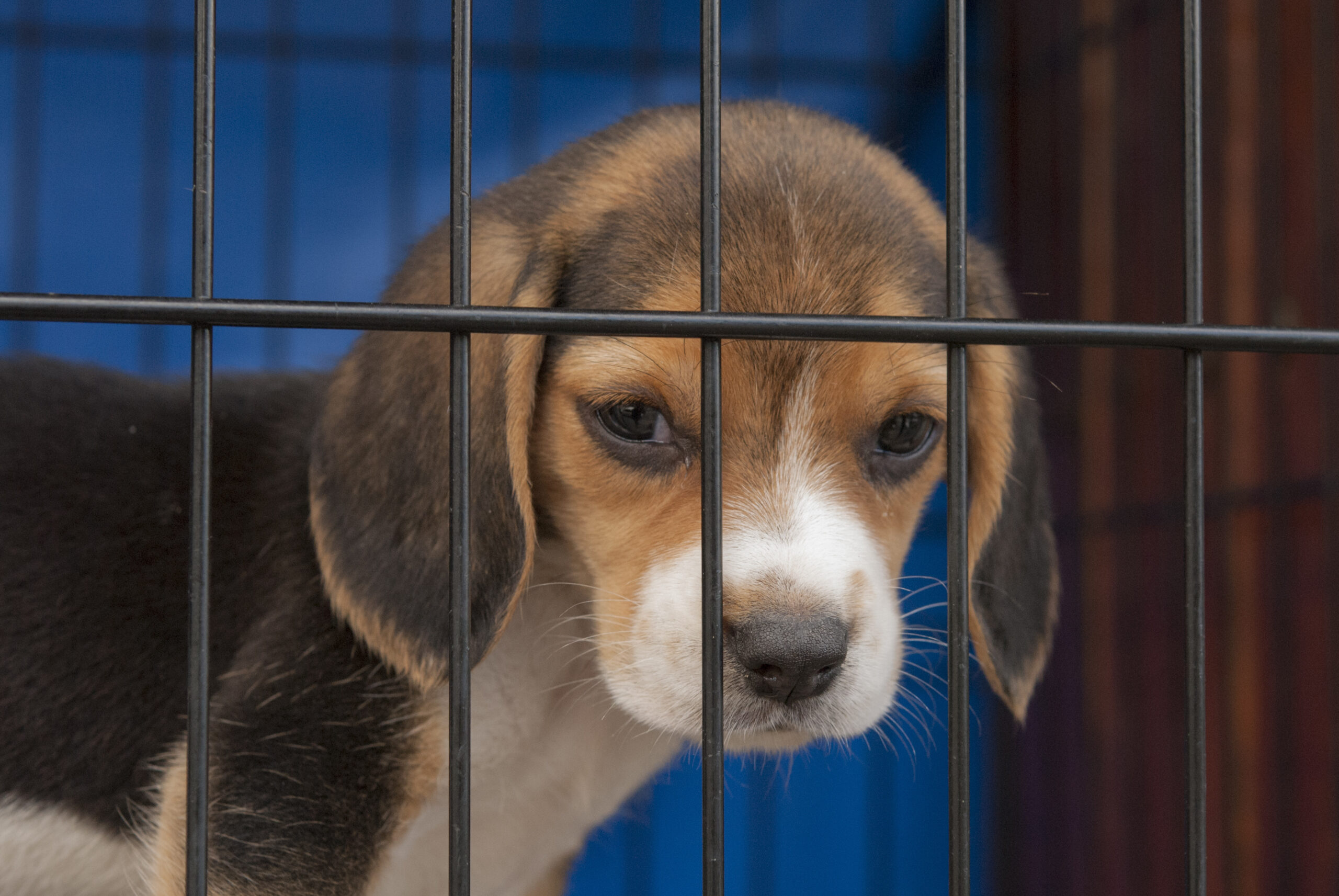 Beagle puppy in a cage