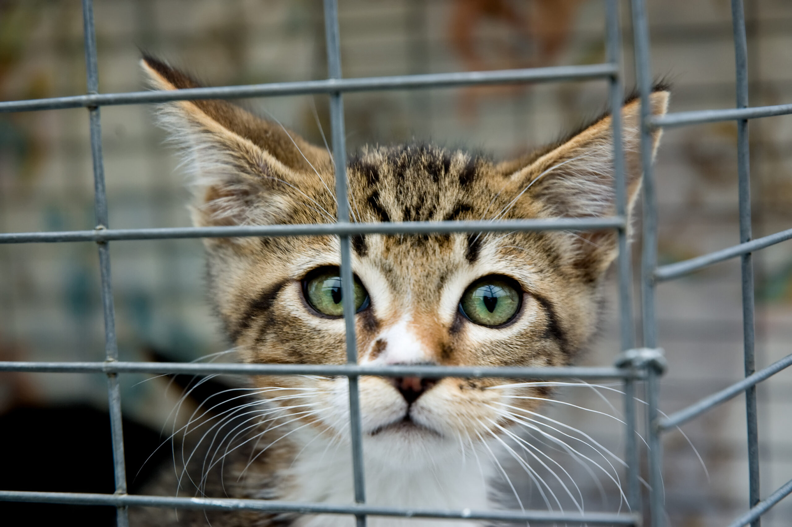 Green-eyed cat stares outside its cage