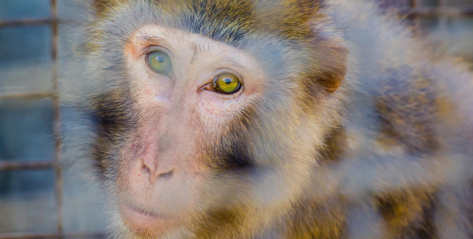A rhesus macaque stares intently though cage bars