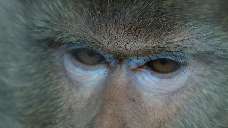 A close-up of a monkey's sad, downturned eyes