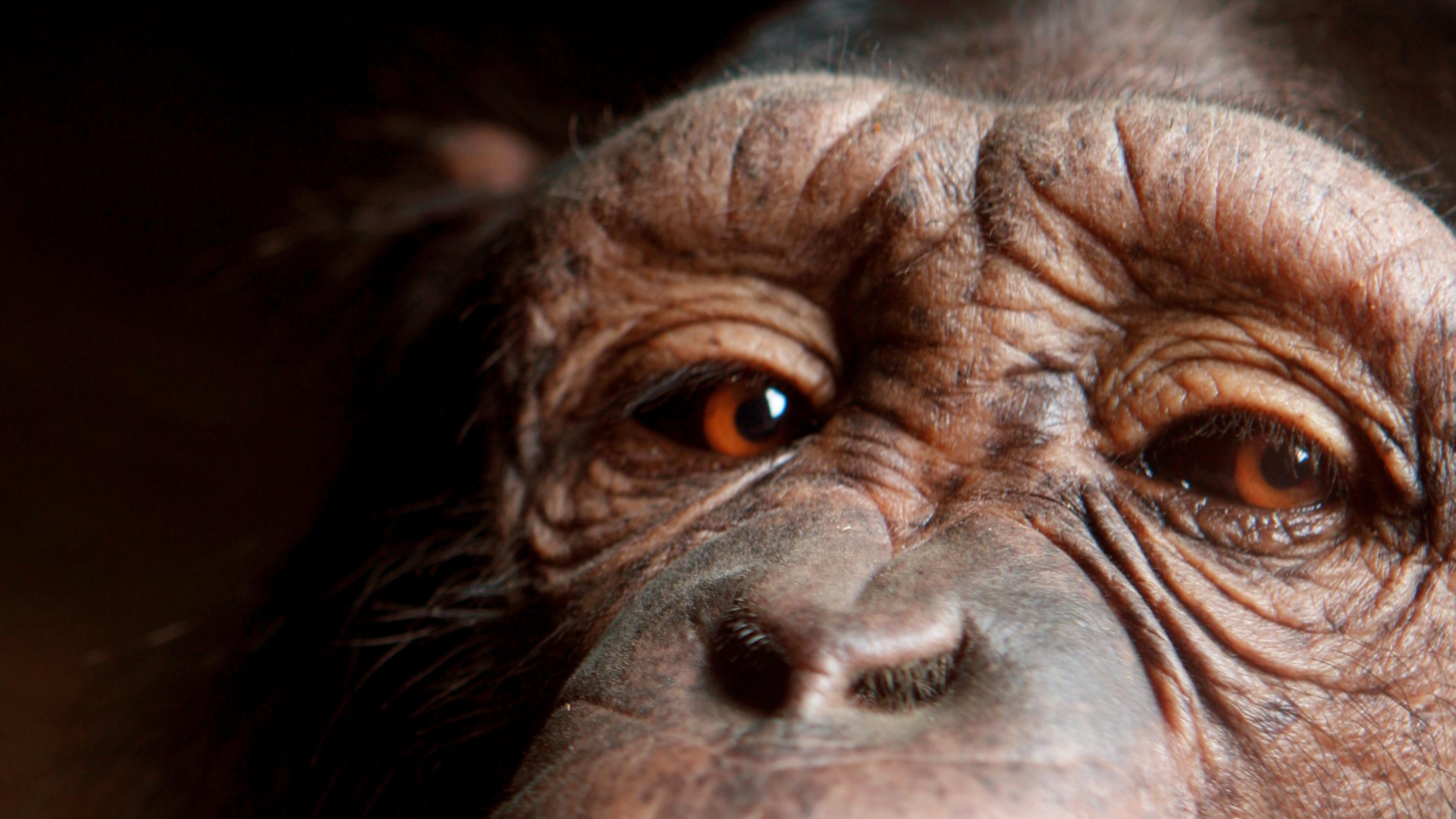 A close-up of a chimpanzee's brown eyes peering at the reader