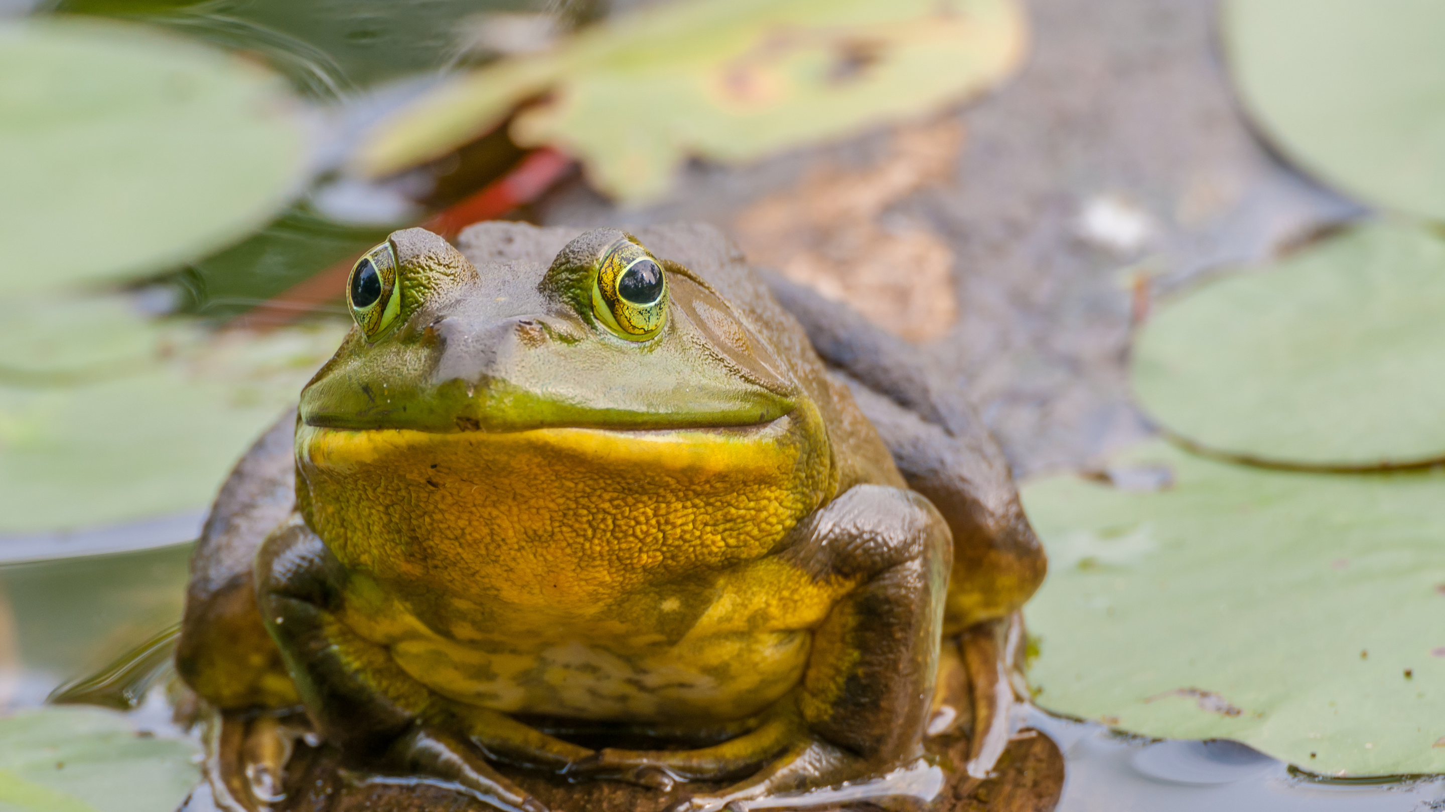 A frog sits atop a lilypad