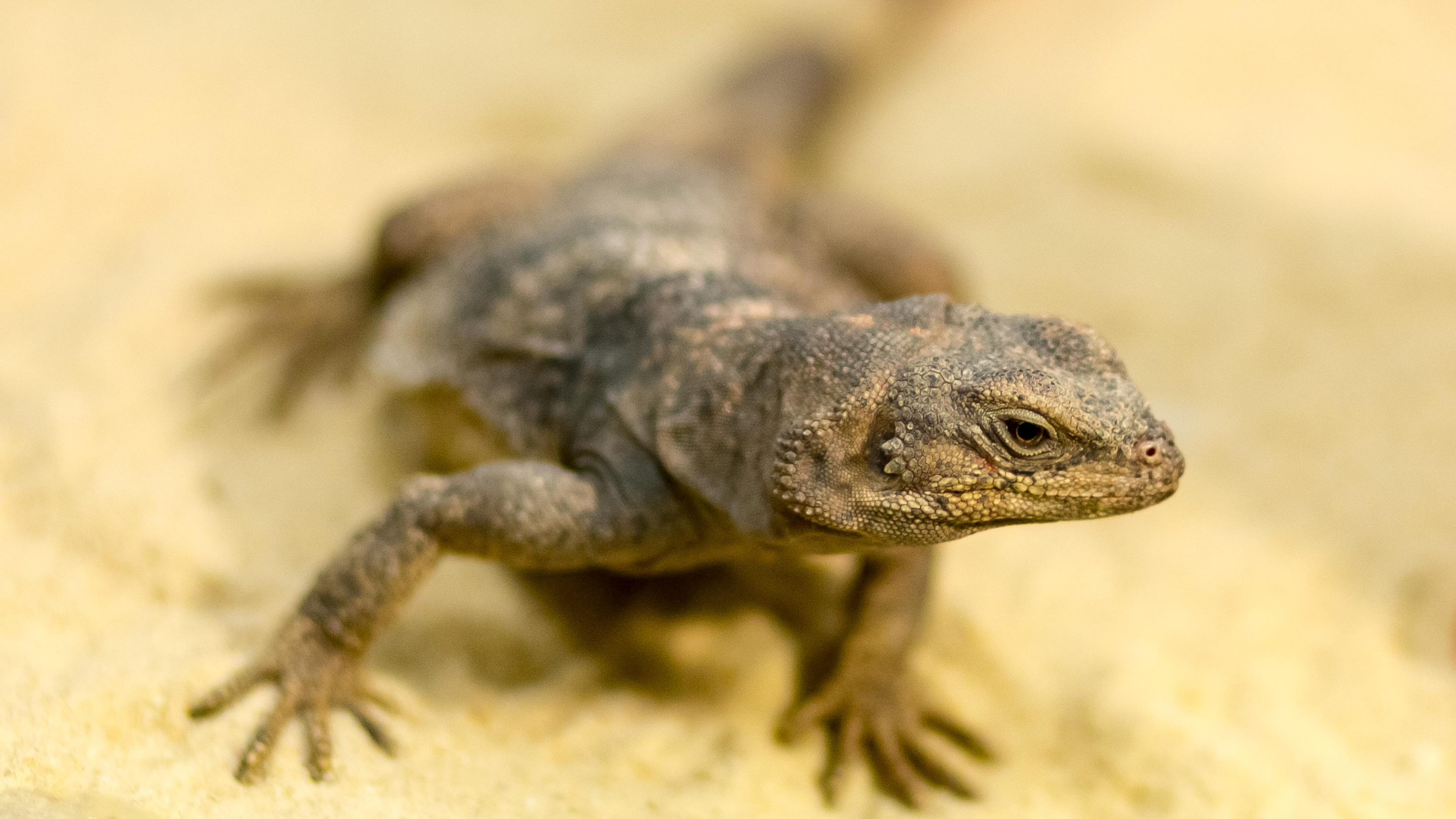 A chuckwalla angles her head towards the viewer