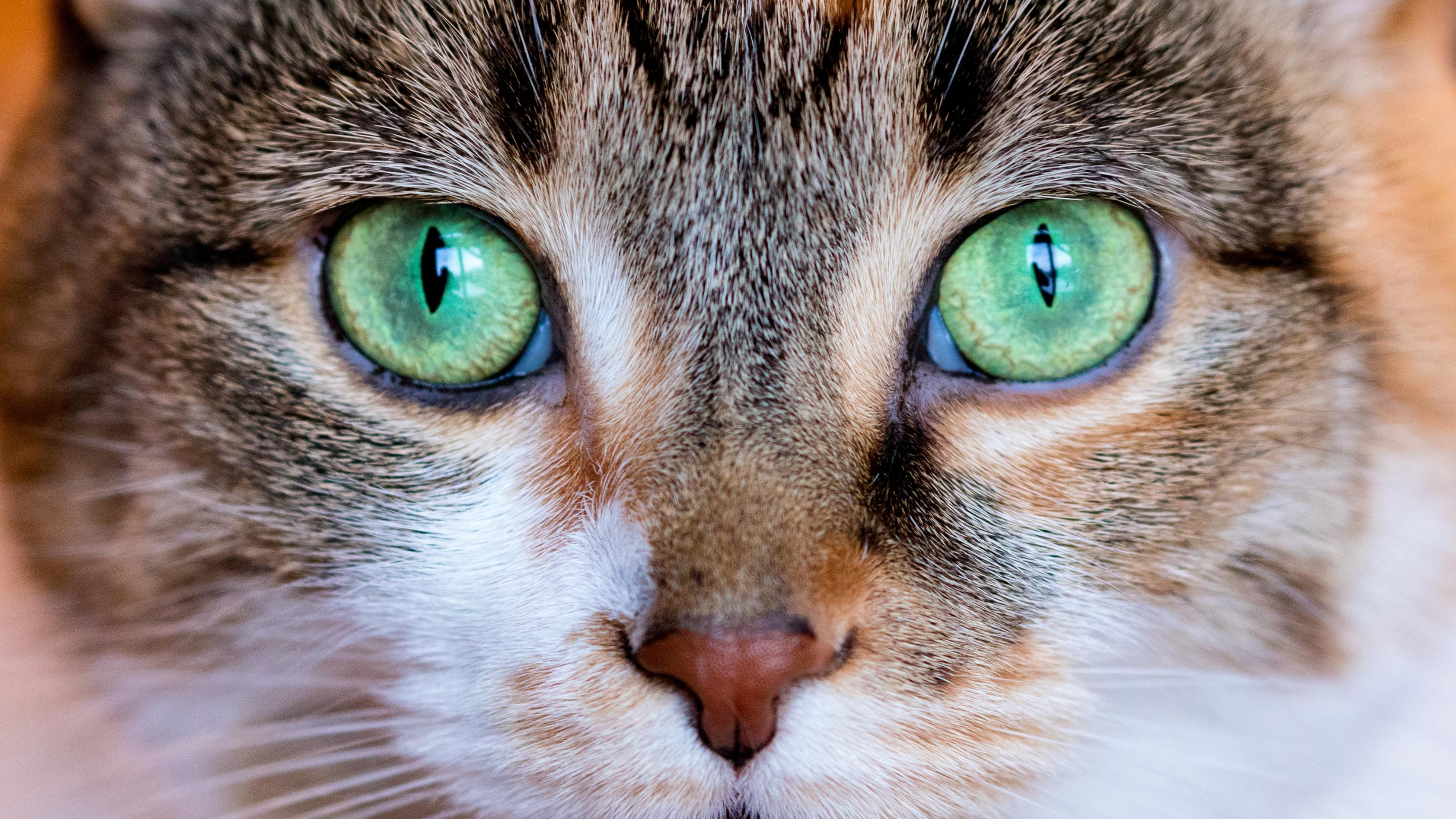 A green eyed cat looking directly into the camera