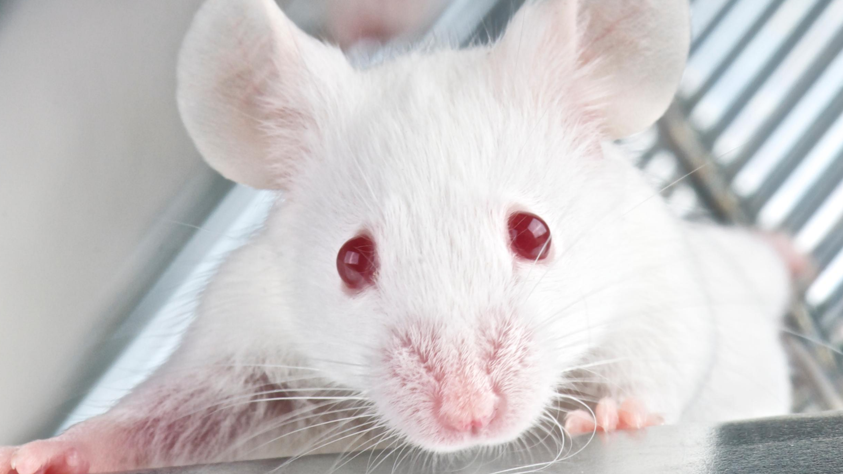 A small white mouse with red eyes peers up from his cage