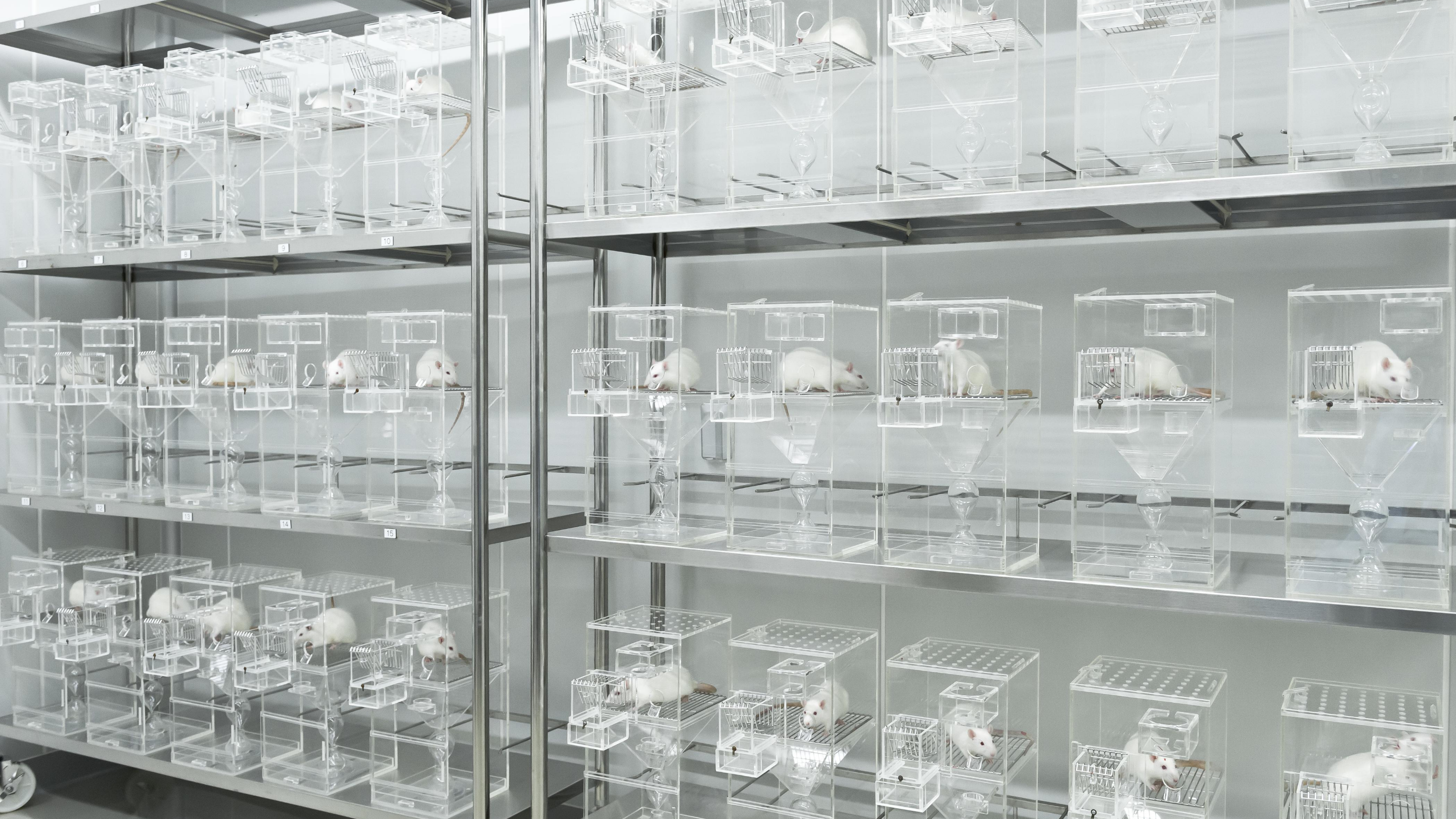 Shelves hold rows and rows of white rats in small, clear plastic cages