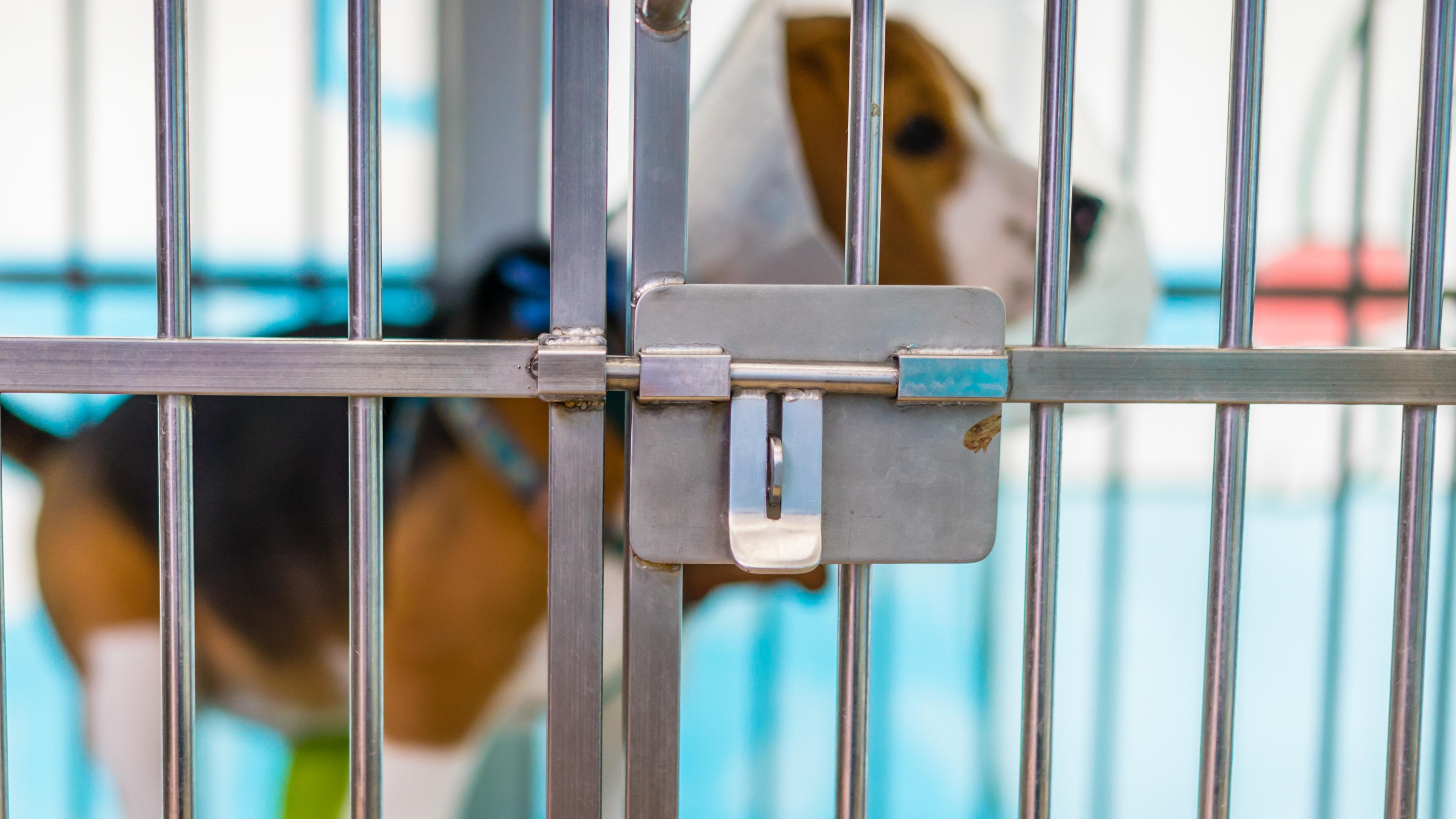 A beagle stands in a metal cage