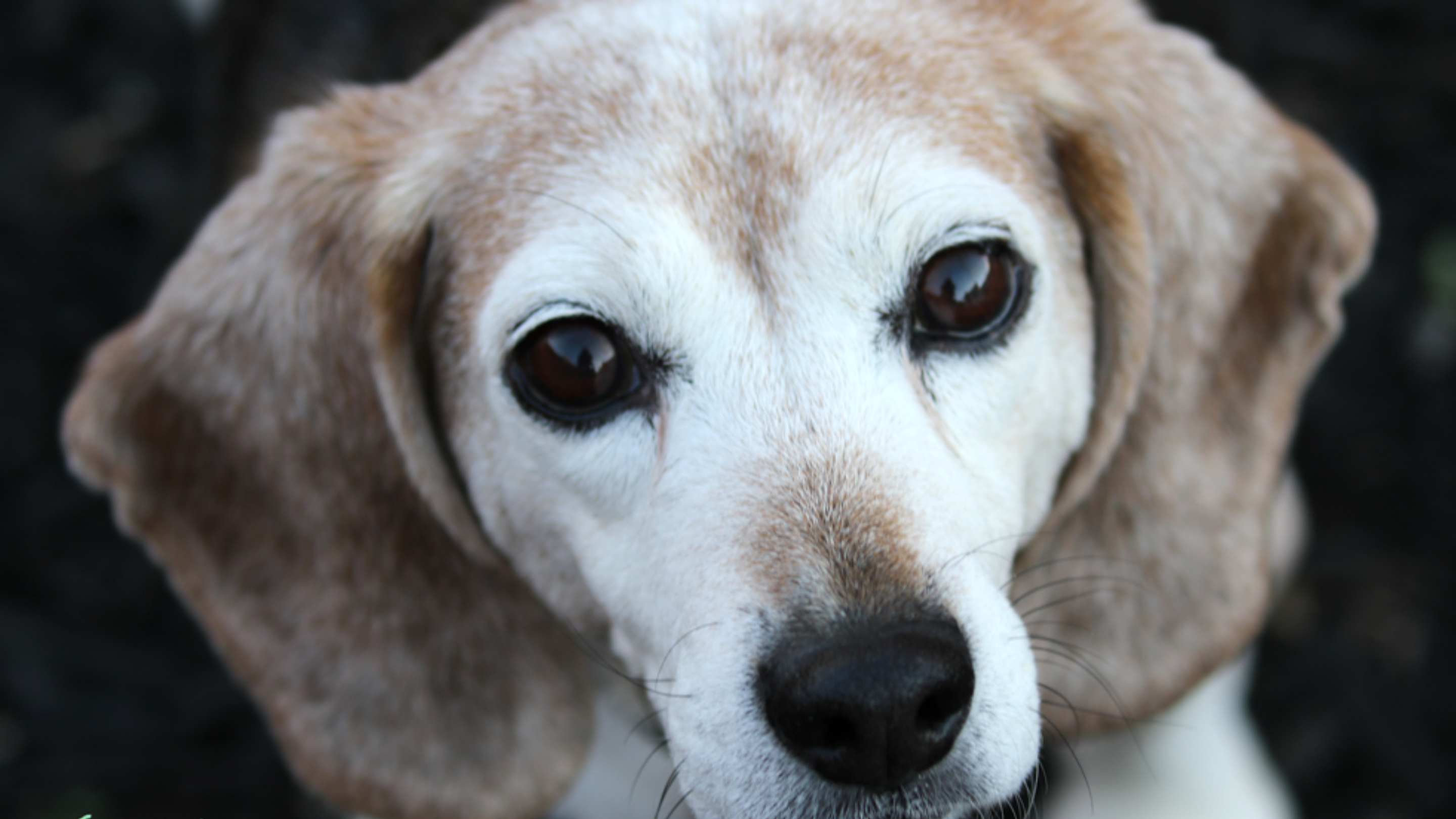 Ellie the beagle looks up, a sweet expression on her greying face