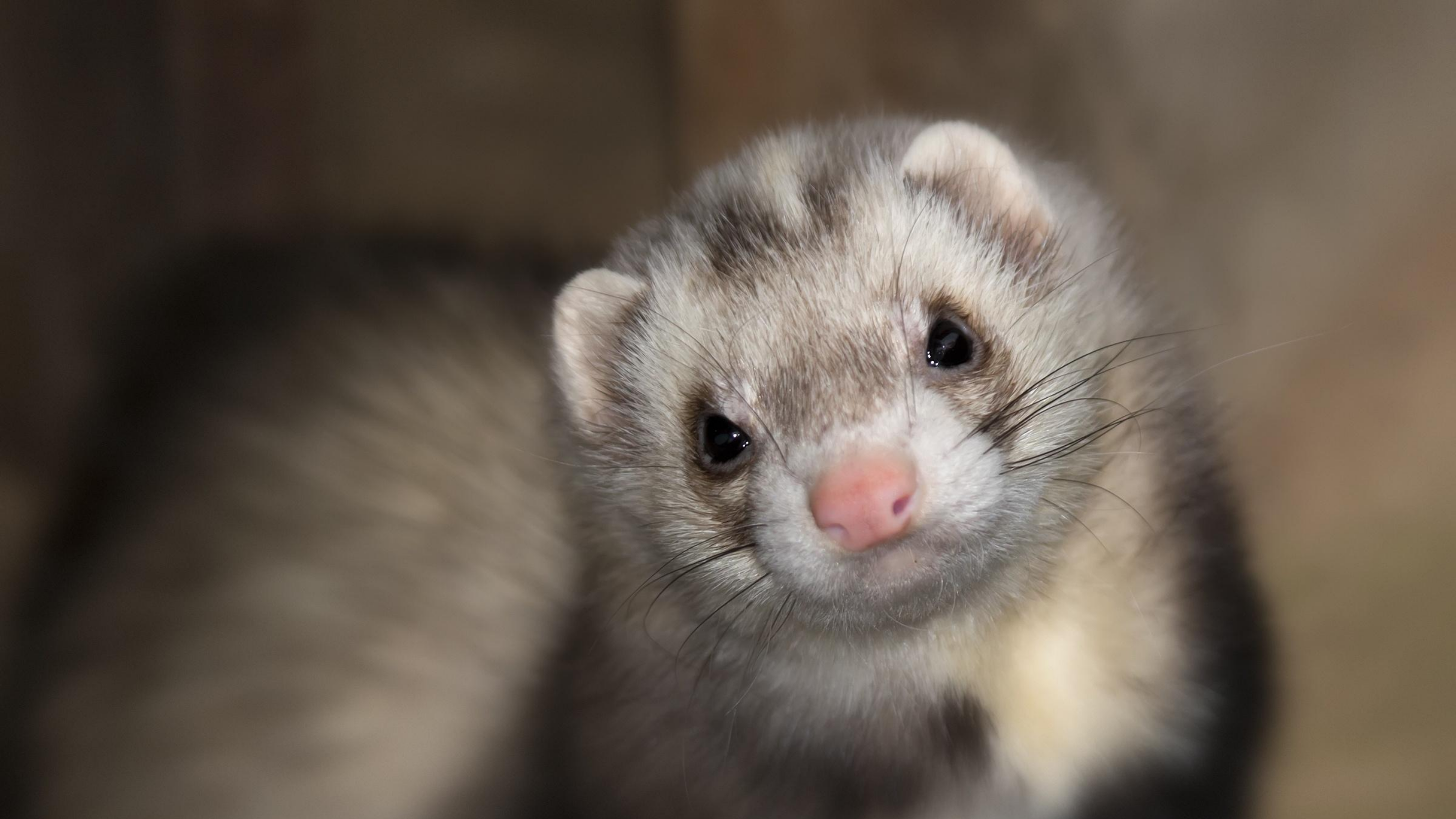 A close up of a ferret's face