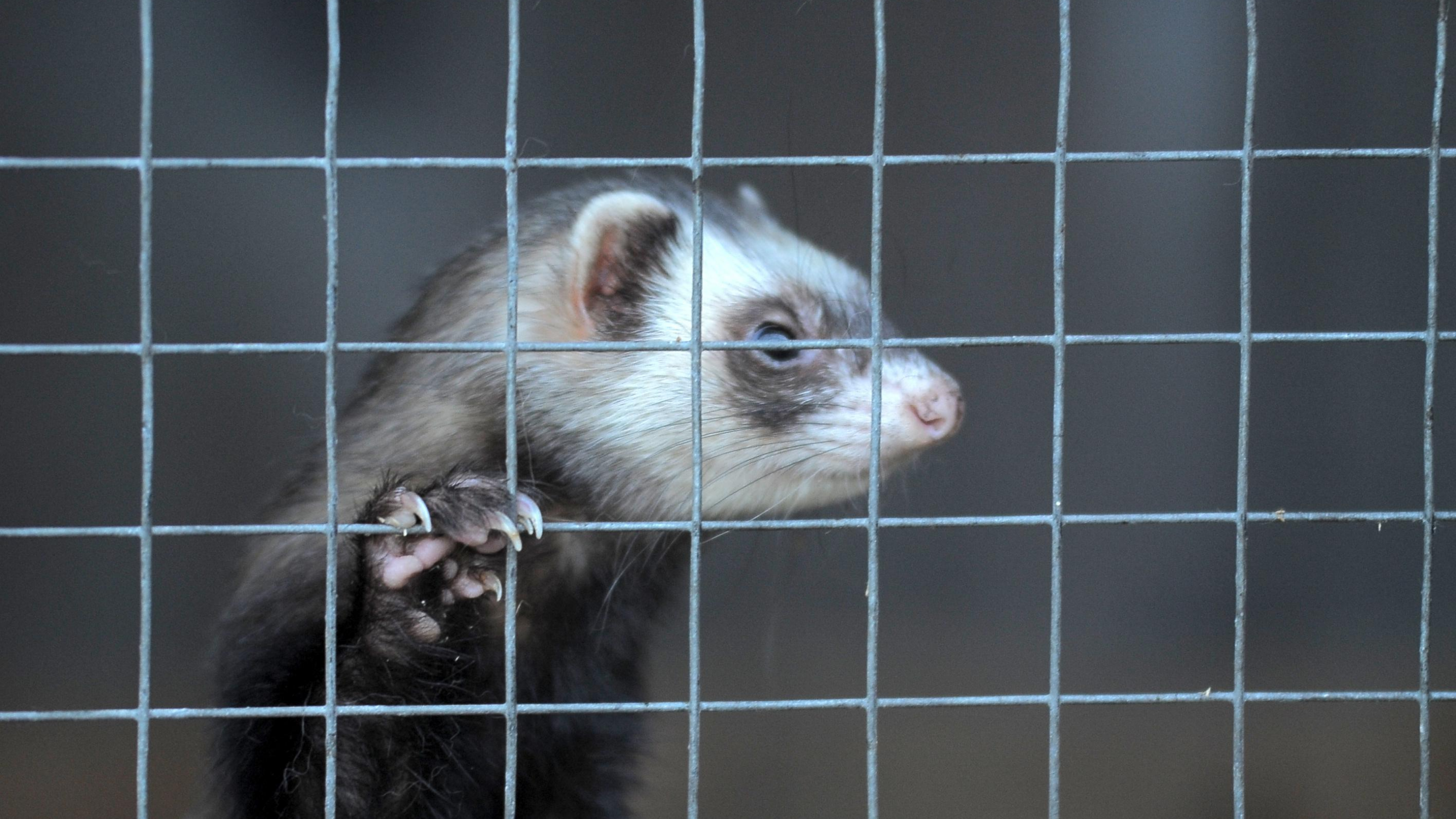 A ferret clings to cage bars