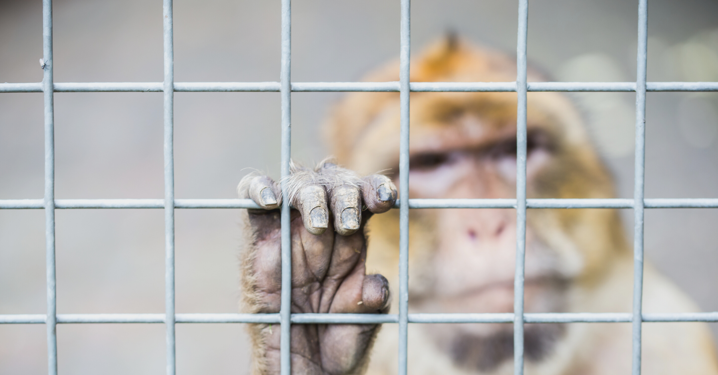 The hand of a rhesus macaque clings to metal caging, his face blurred out of focus behind