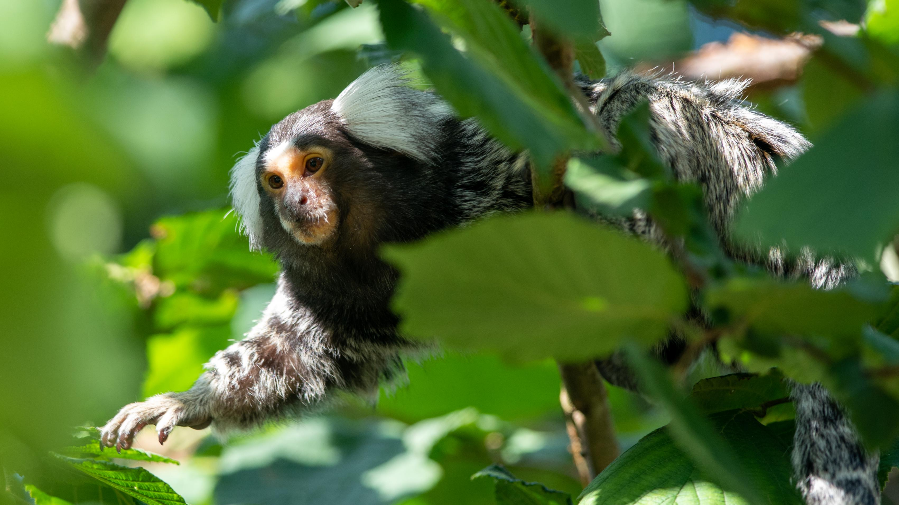 Surrounded by green leaves, marmoset clings to a branch