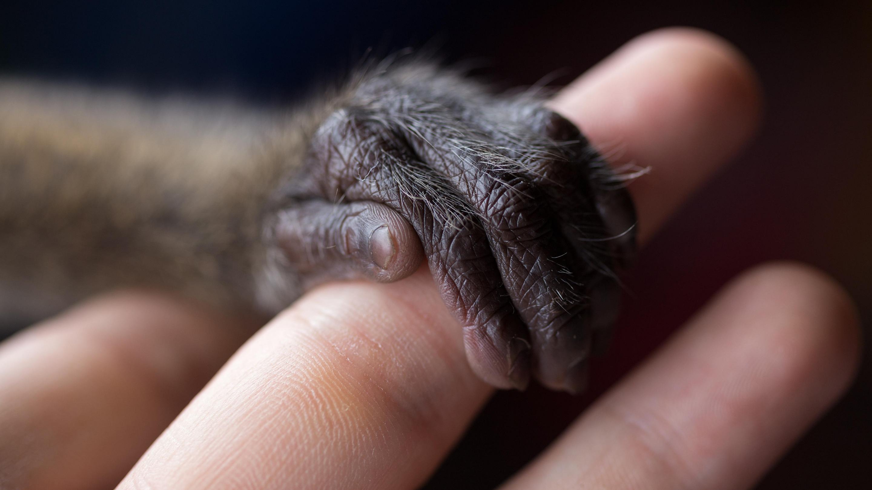 The small, furry hand of an infant monkey clutches a human finger