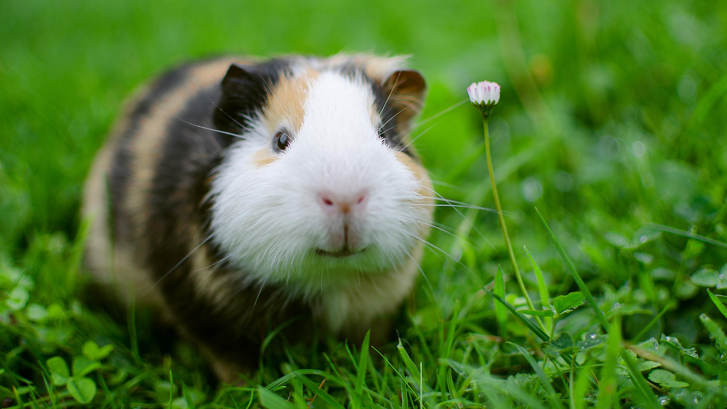 A guinea pig looks as if it it smiling as it stands in green grass