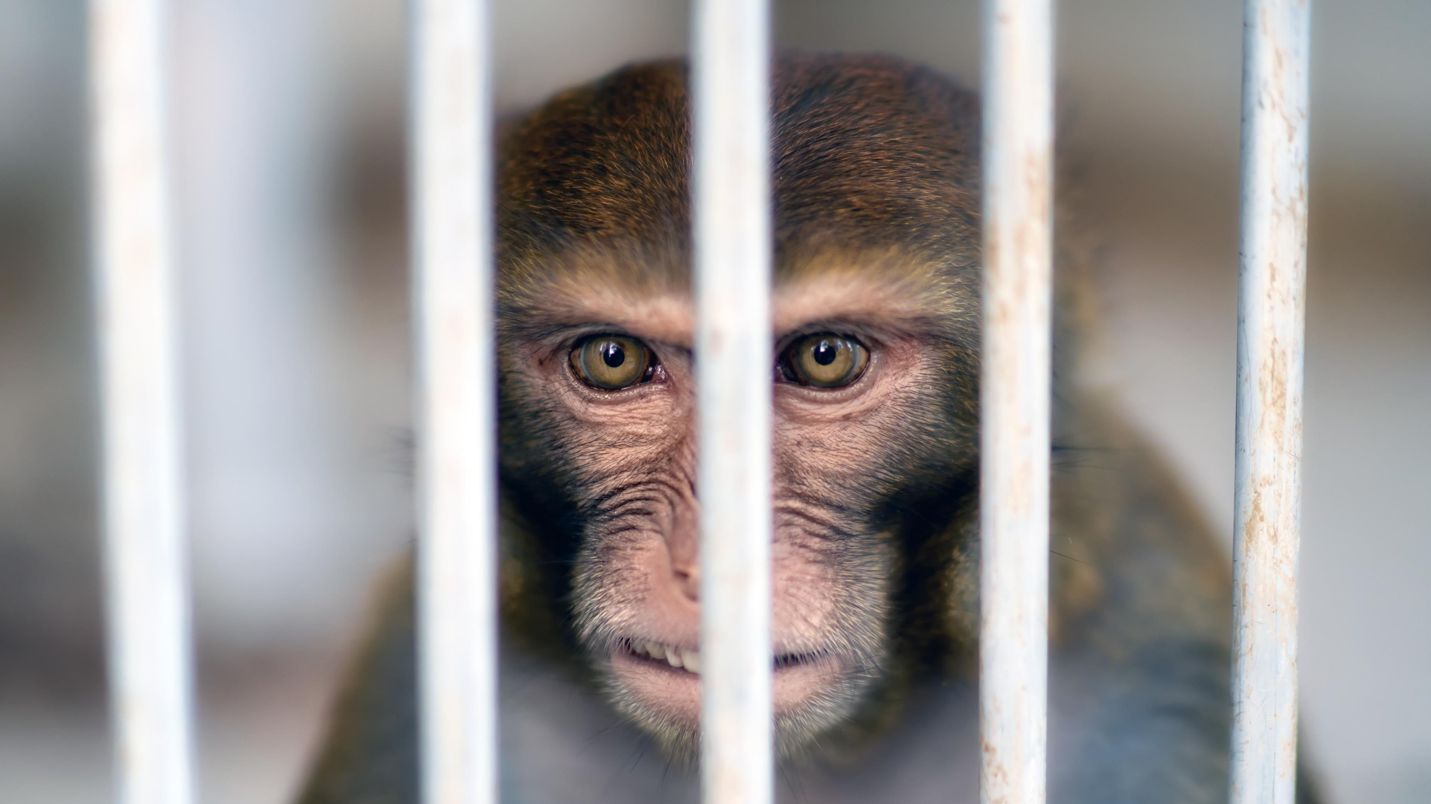 A monkey trapped in a cage