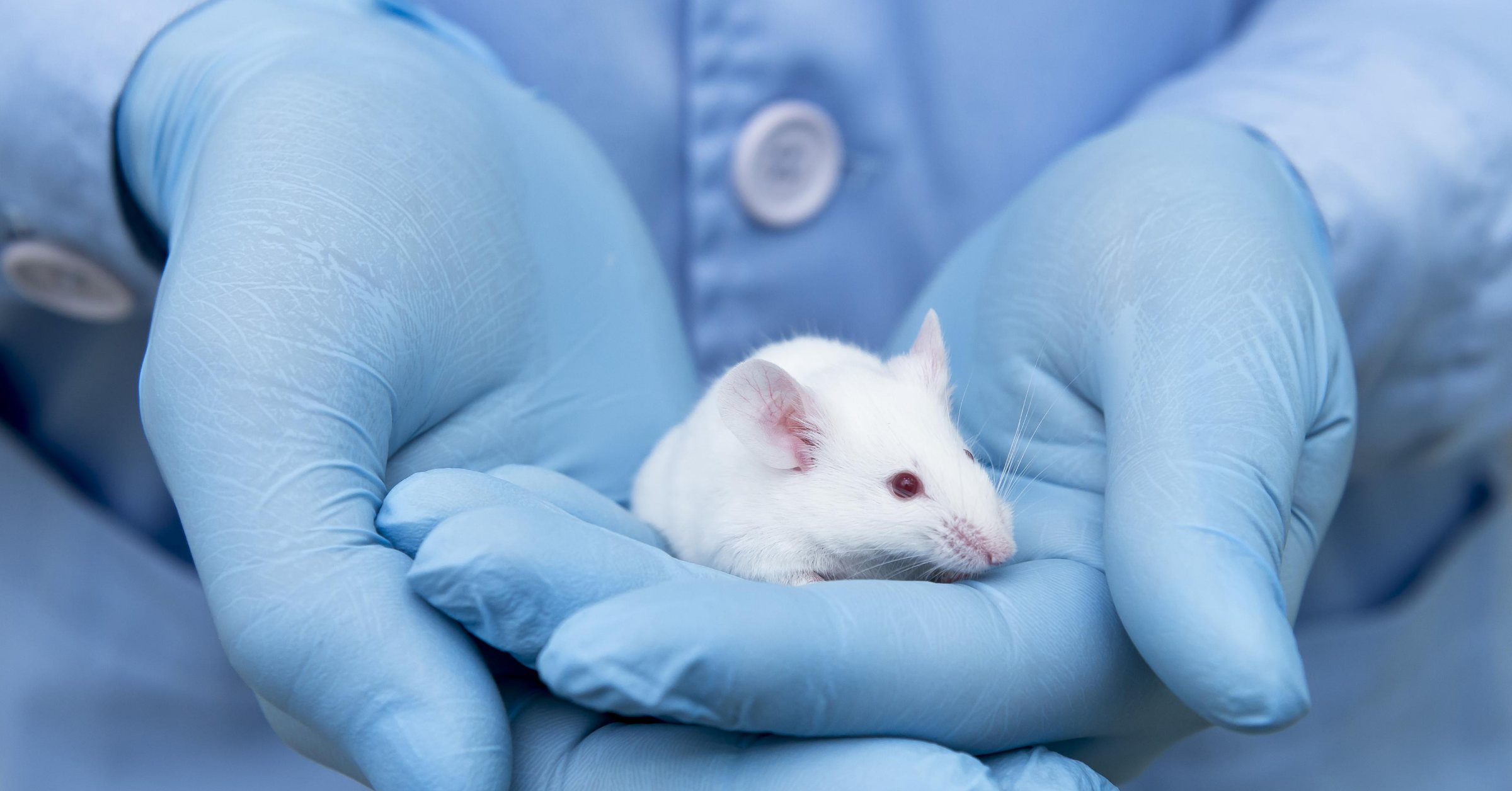 A small white mouse is cradled in human hands clad in sterile blue gloves