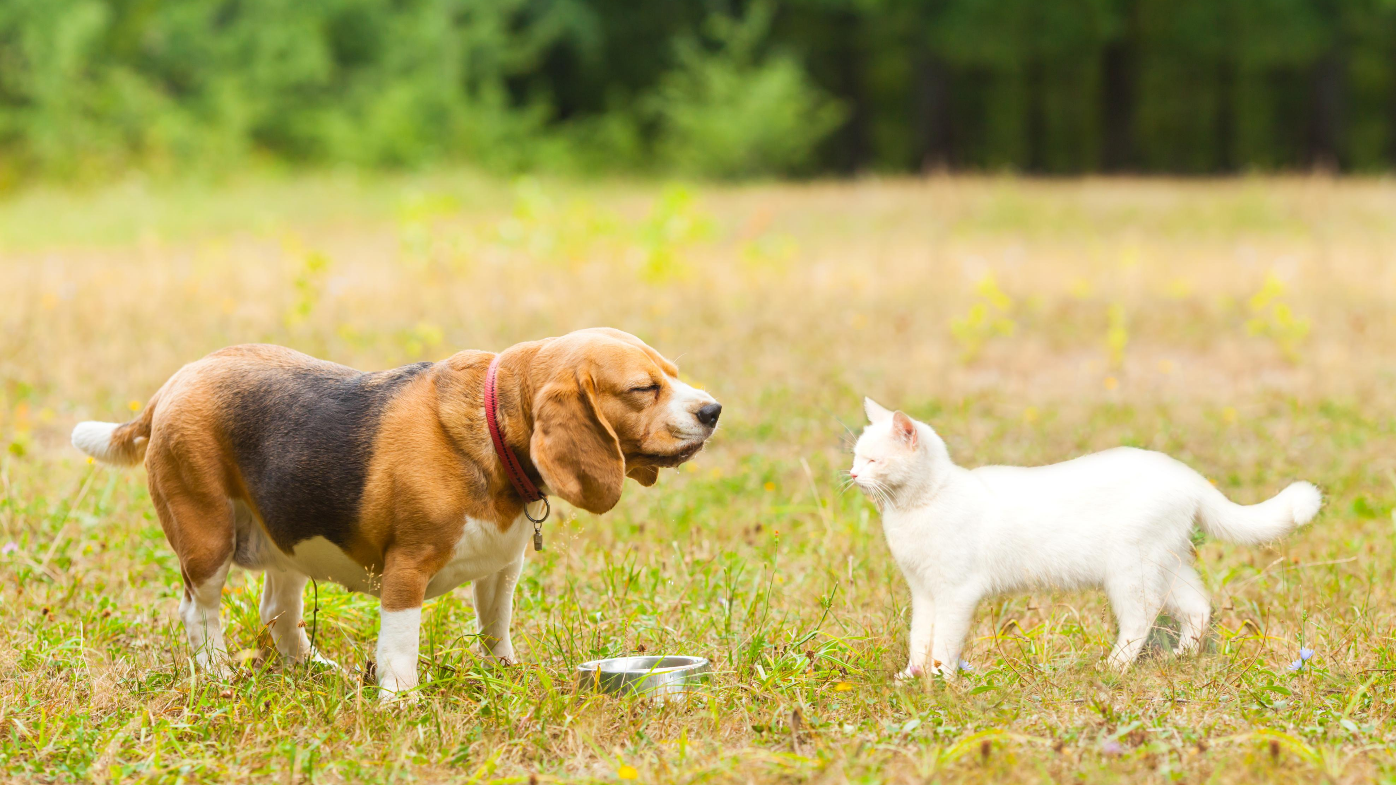 A beagle and a cat look at one another, standing in green grass