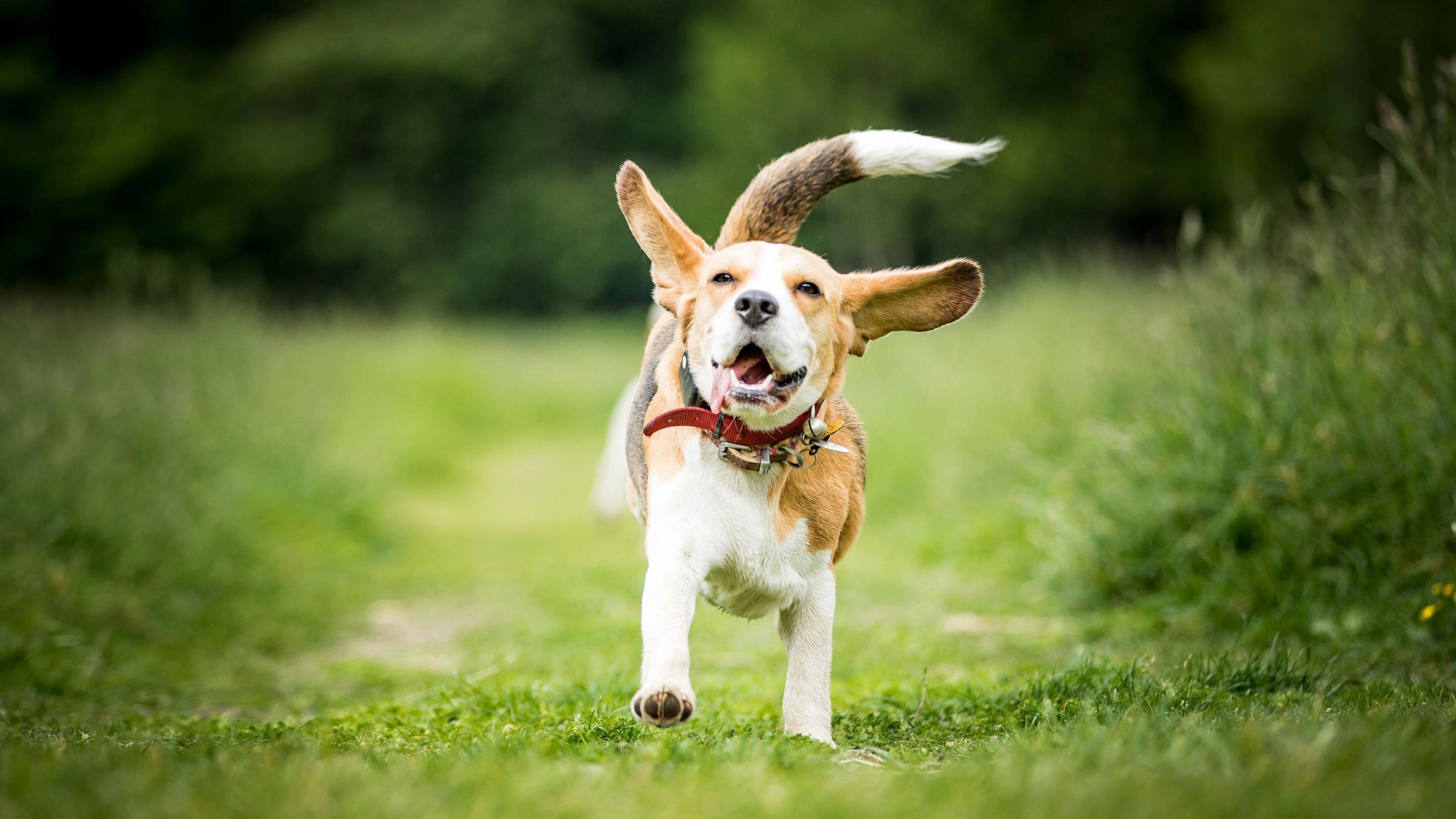 A beagle runs happily through a green field