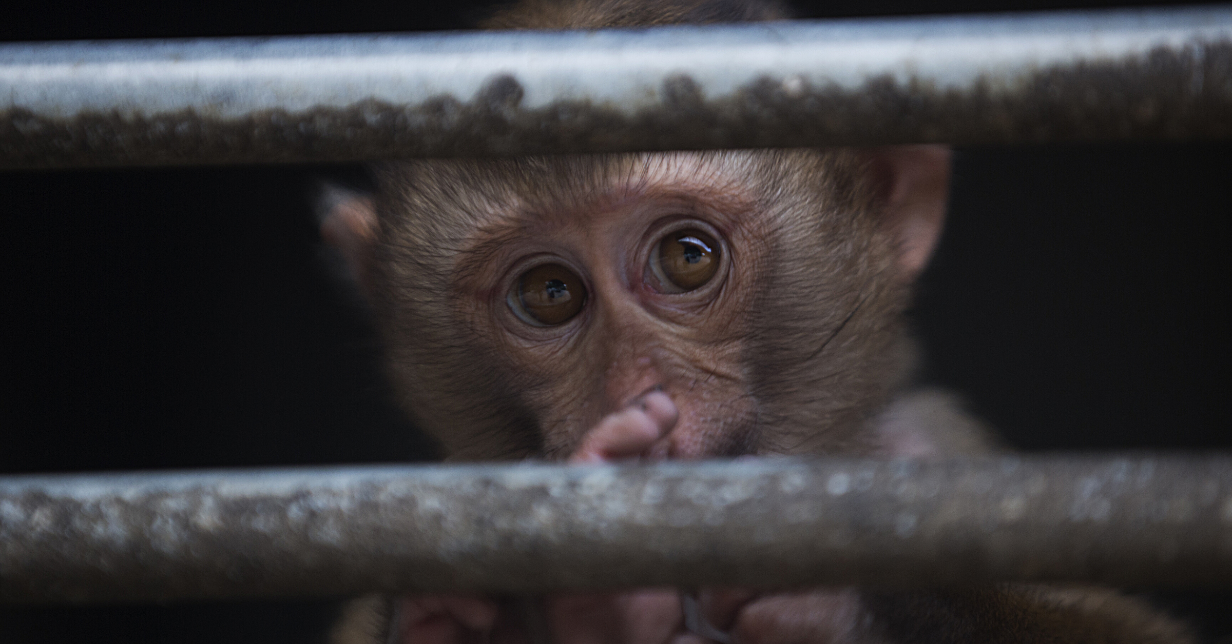 The face of a baby monkey peers between metal cage bars