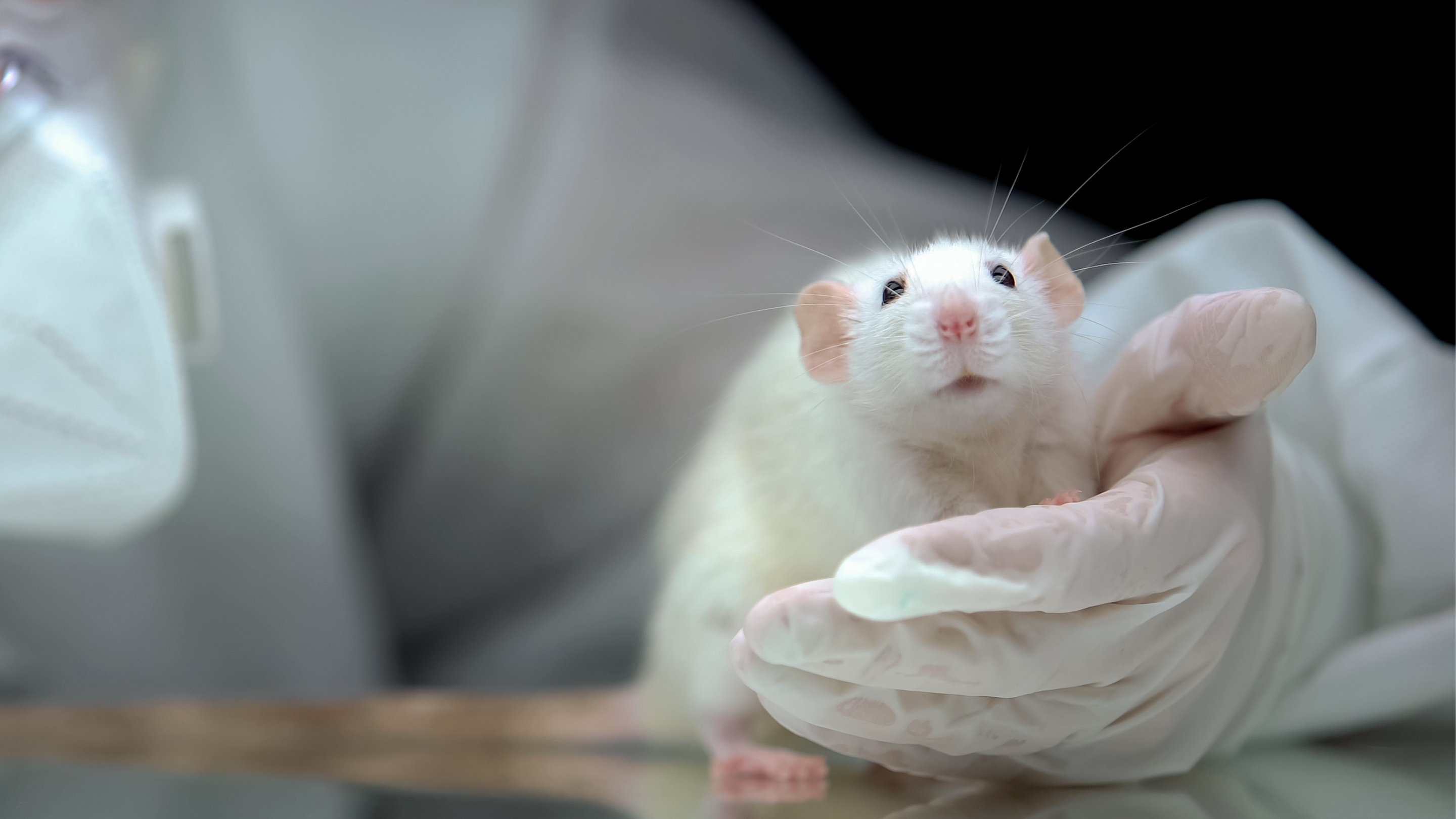 Image of a white rate being held in a gloved hand