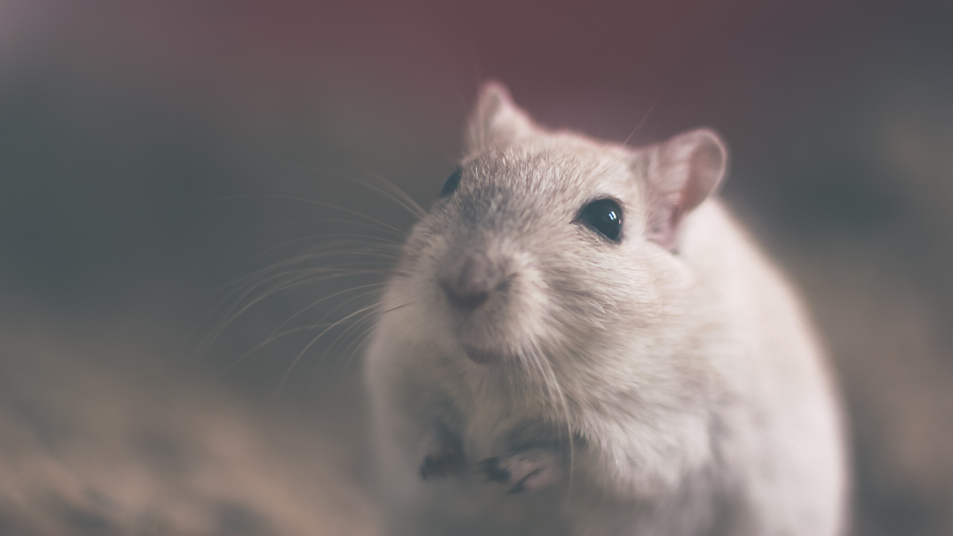 A mouse, small and grey, looks into the camera
