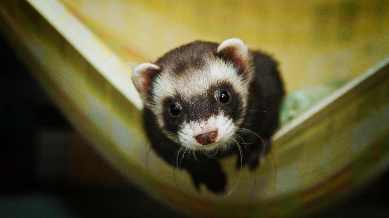 A ferret looks up sweetly