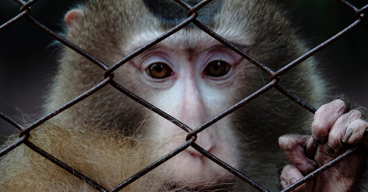 A rhesus macaque peers through the metal wiring of a cage