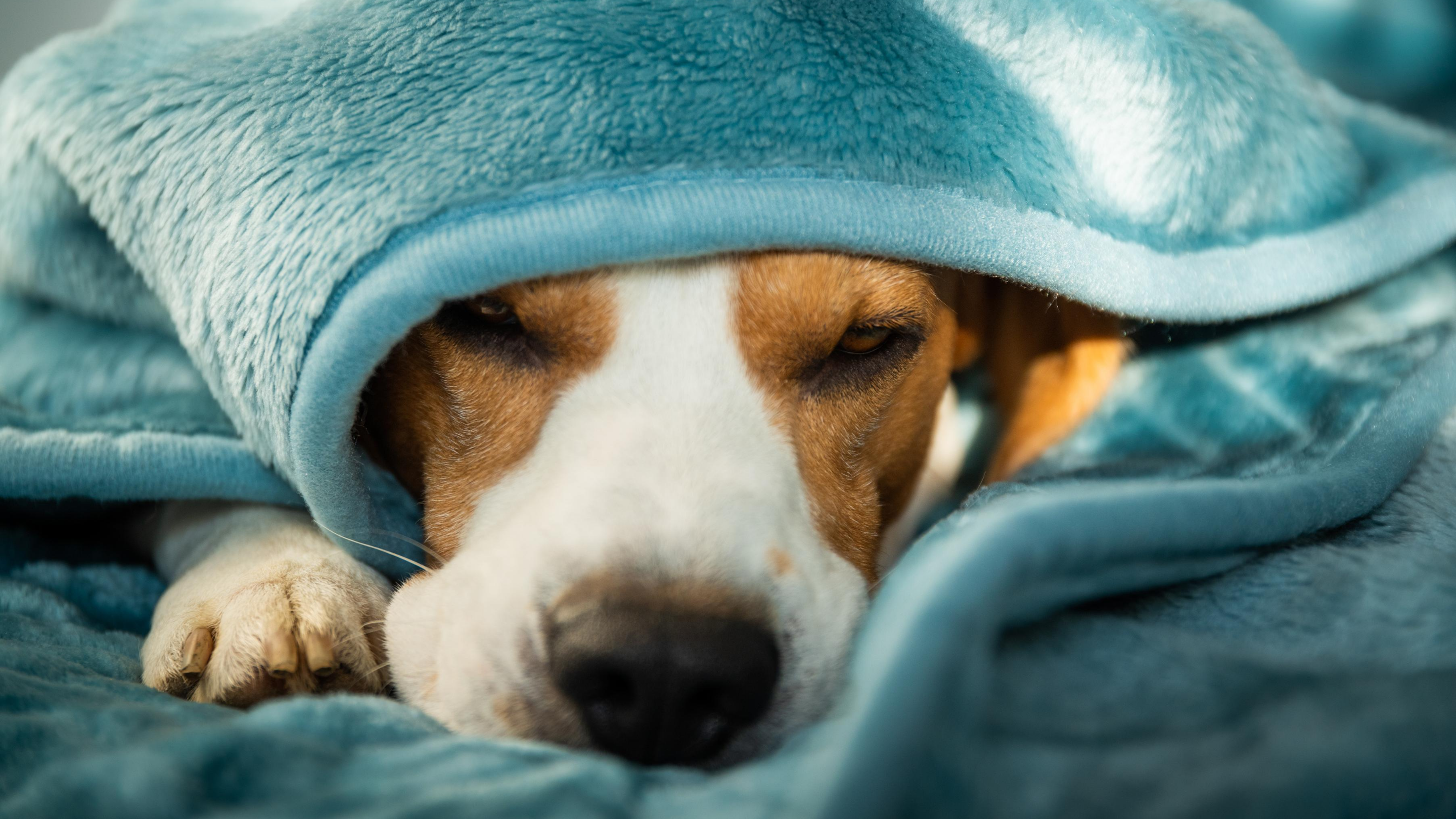 Snuggled in blankets, a beagle pokes his nose out