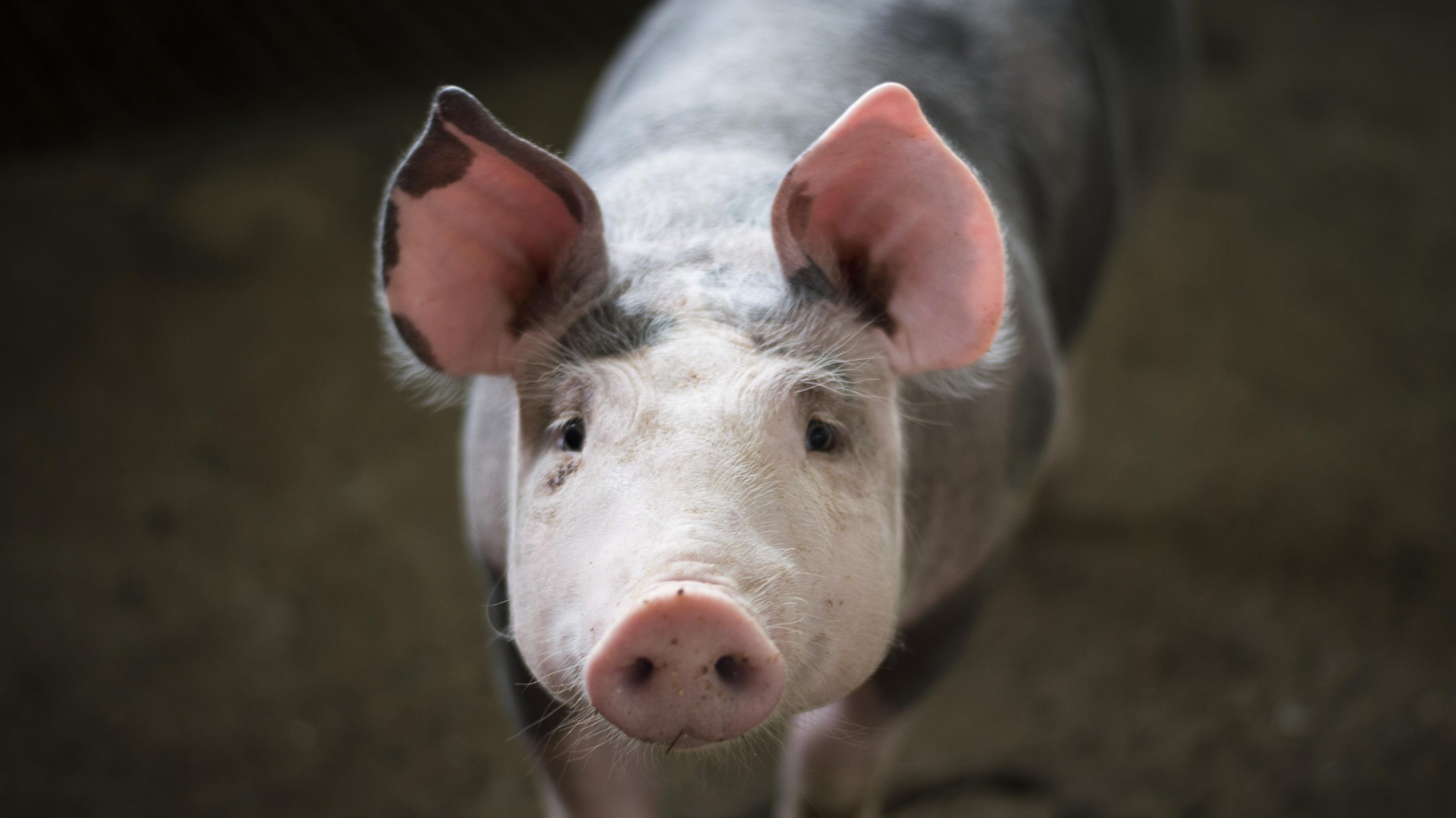 A pig's face is displayed close up