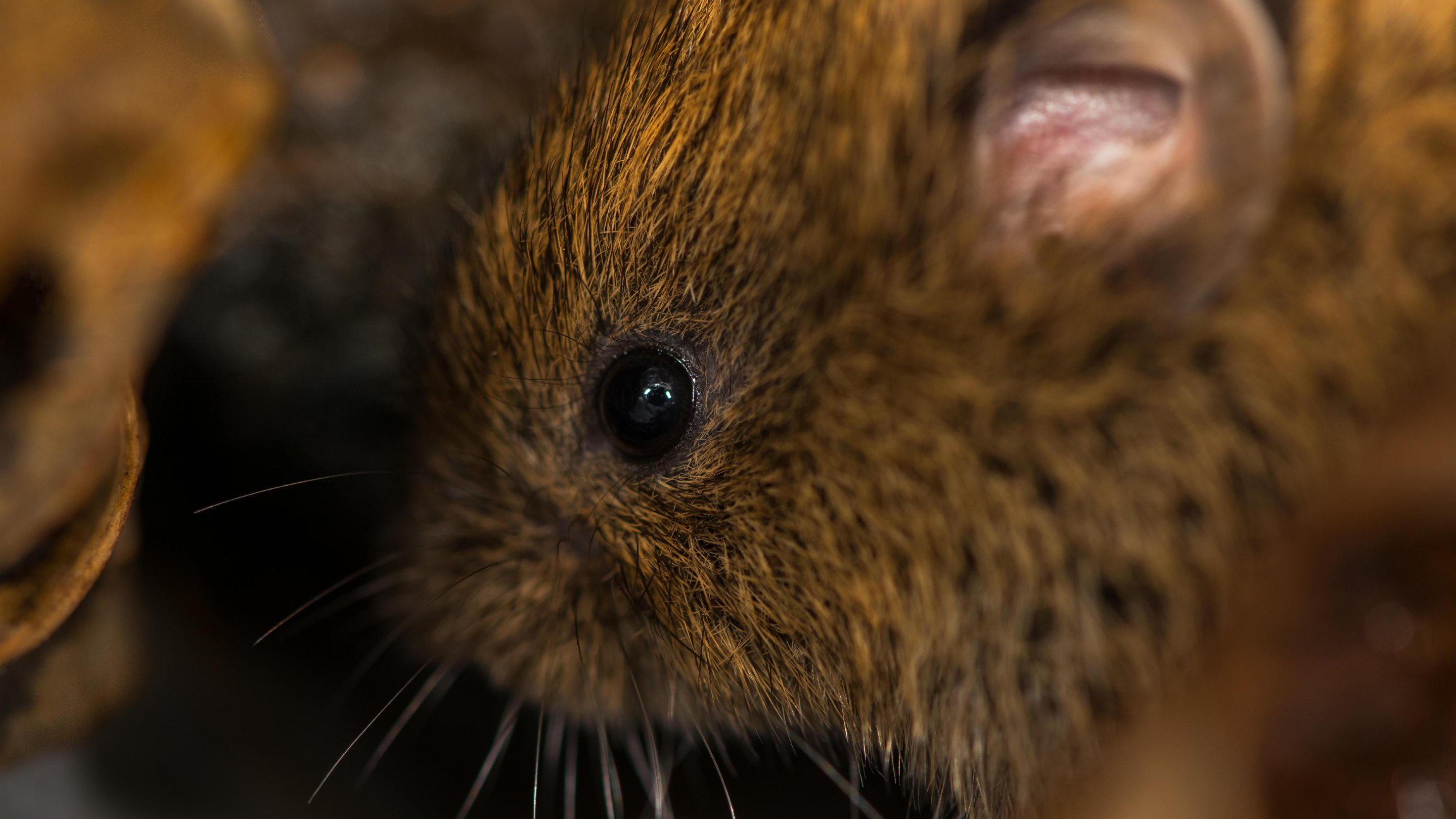 A small, brown vole cowers