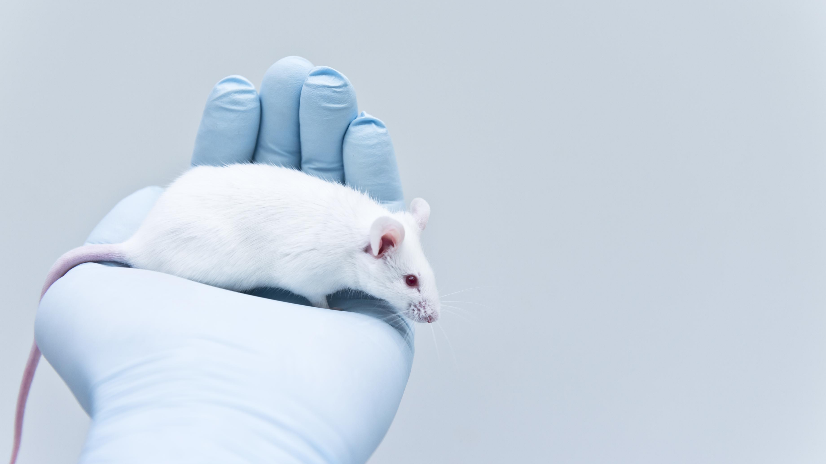 A white mouse rests in a gloved hand