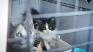 Rescued kitten stare outside their pet carrier