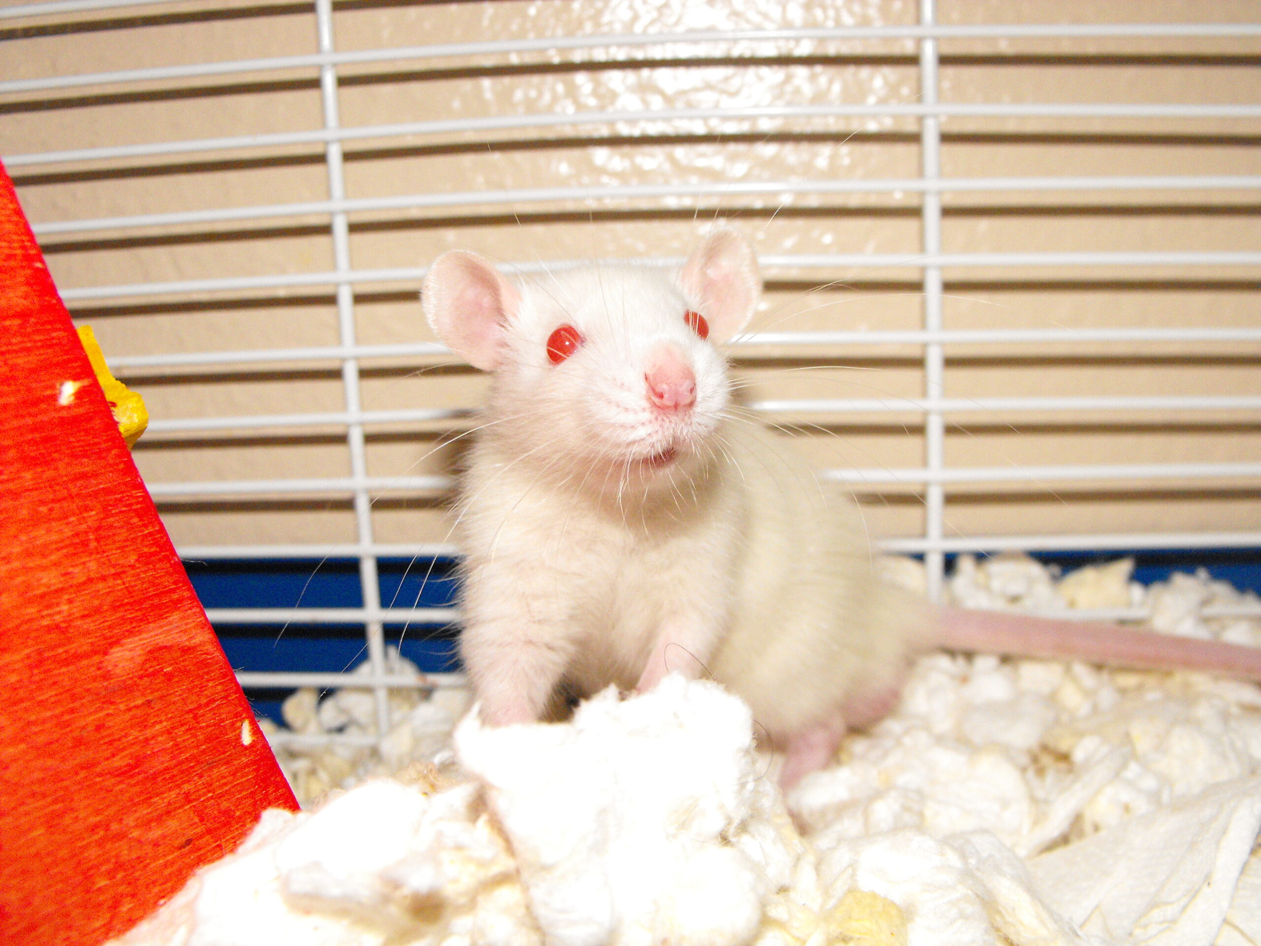 Mama Girl, a white rat with red eyes, sits in a clean and cozy cage post-rescue