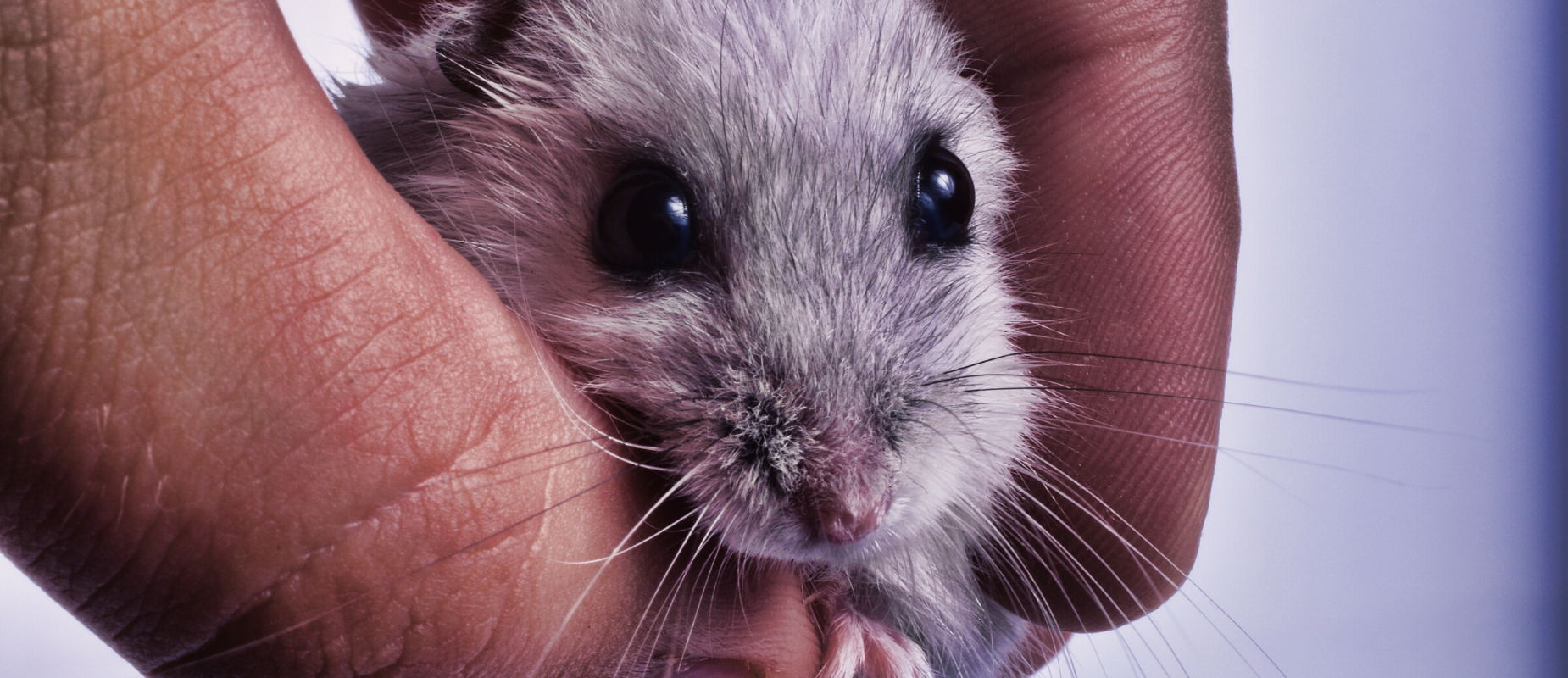A small grey rodent peers between human fingers