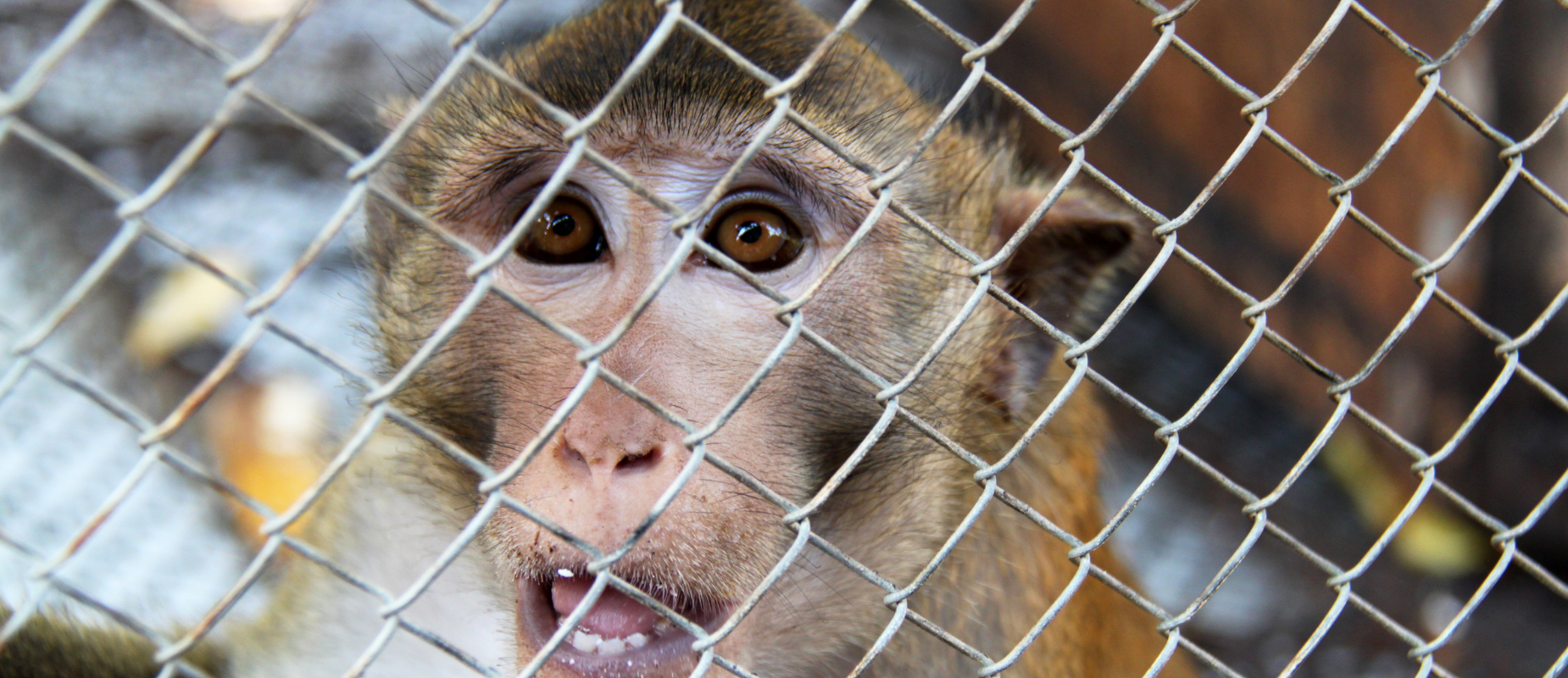 A macaque, open-mouthed, looks through cage wiring