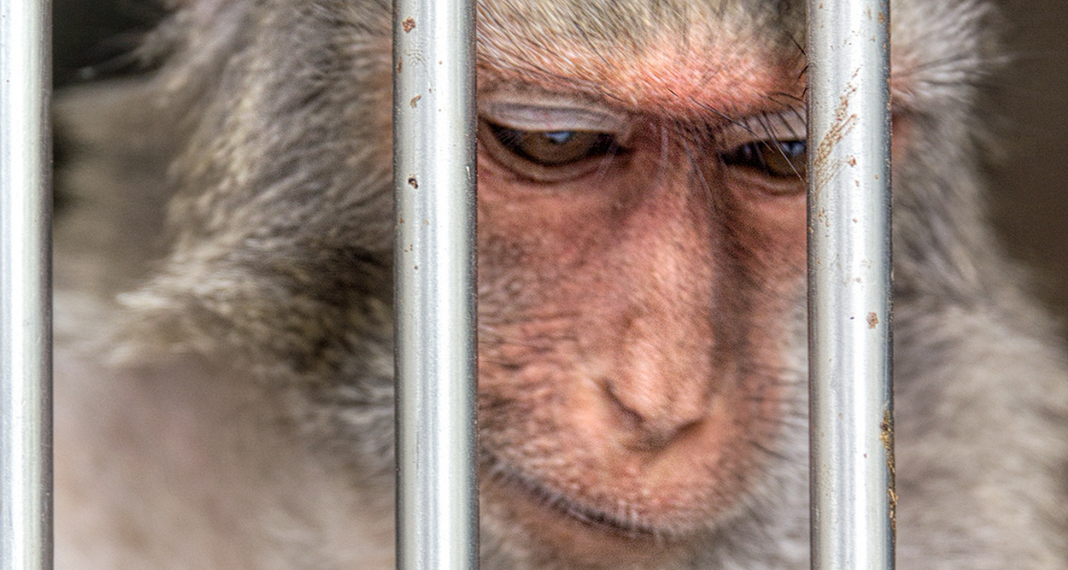 A macaque lowers his eyes behind steel bars
