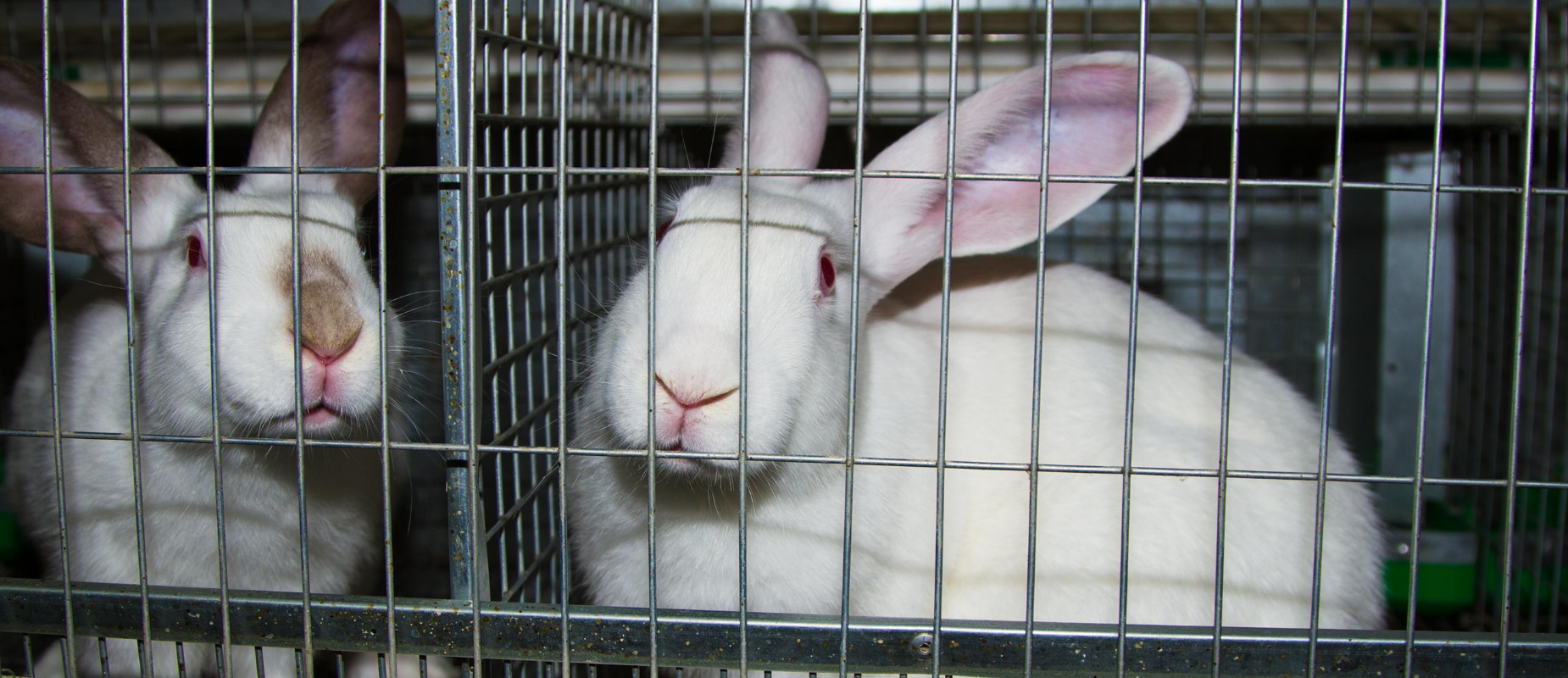 White rabbits sit in small, barren, metal cages