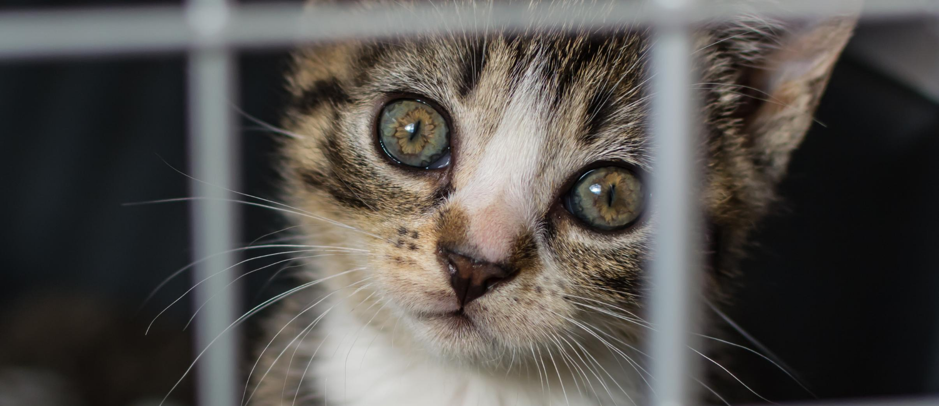 A green-eyed kitten peers through a metal cage