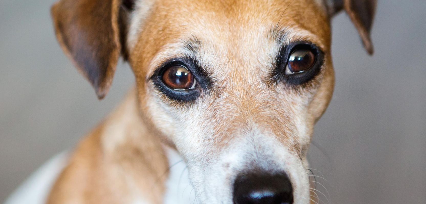 A brown-eyed dog looks directly at the viewer