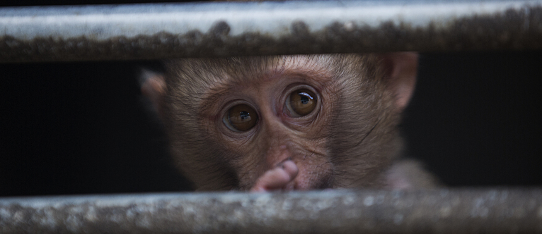 Monkey stares between the cage bars