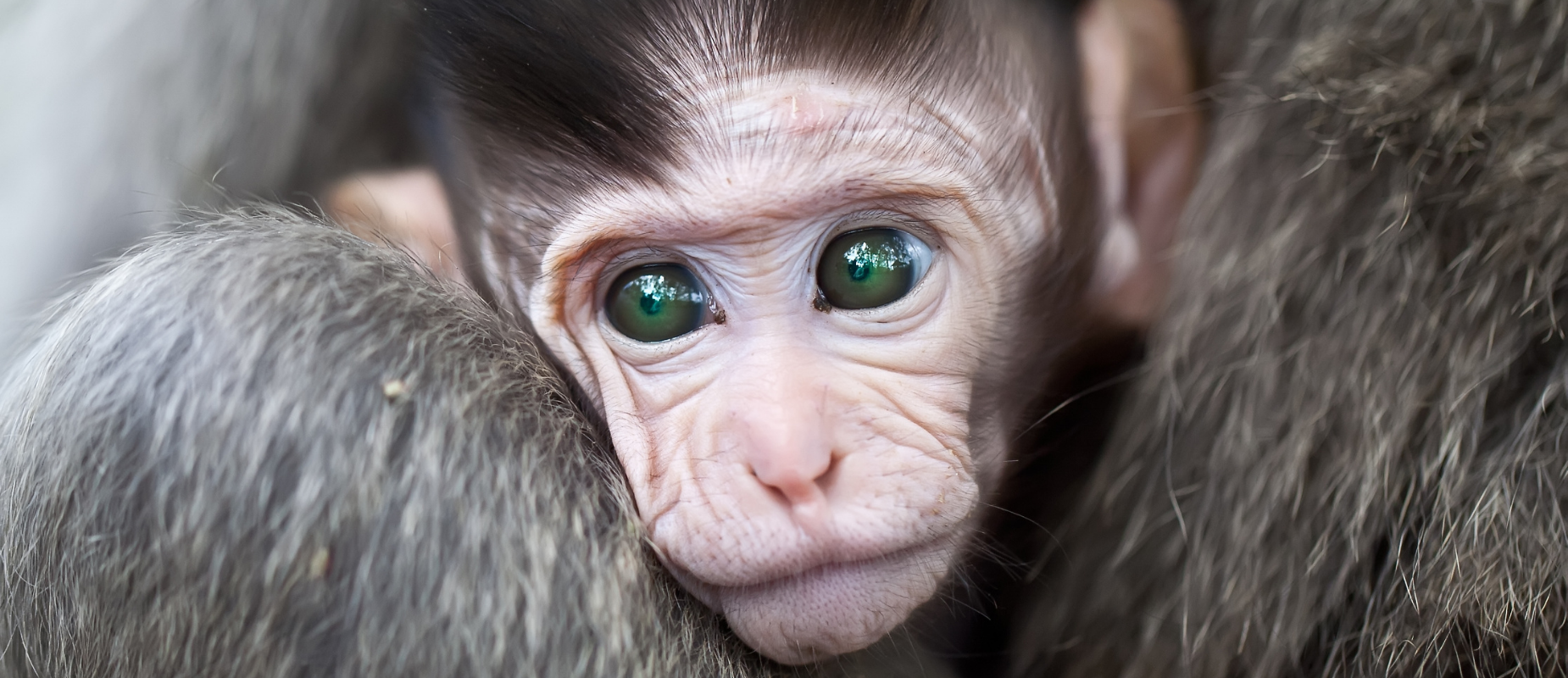 A close-up photo of a green-eyed baby monkey