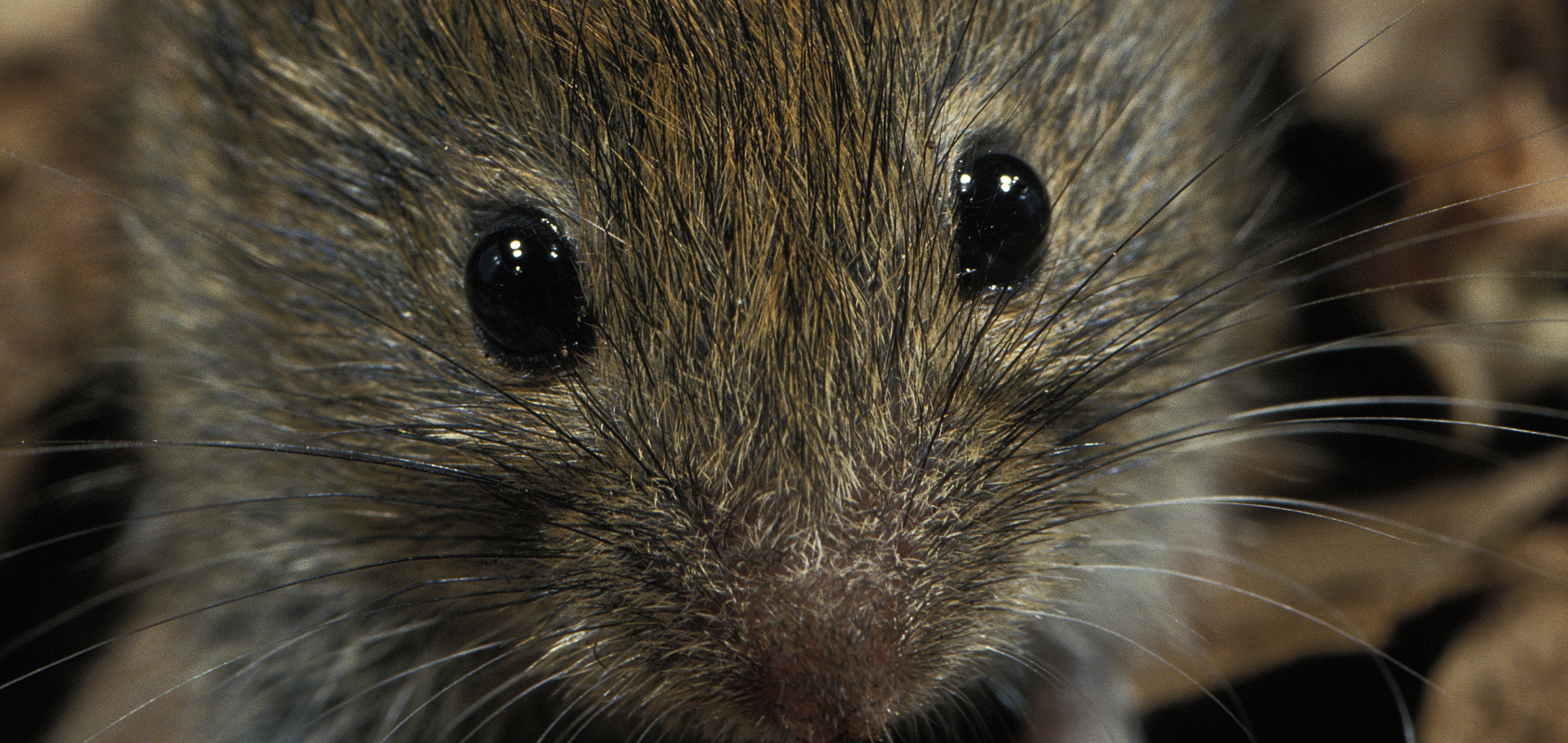 A close up of a vole