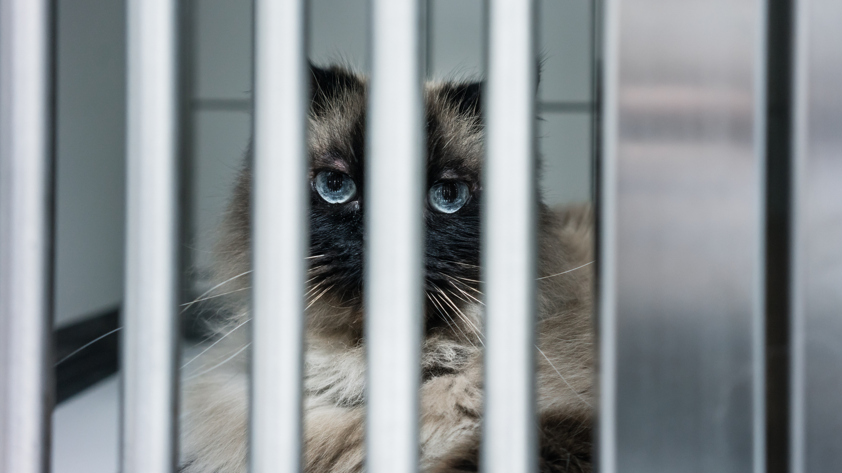 Photo of a blue-eyes cat staring through steel cage bars