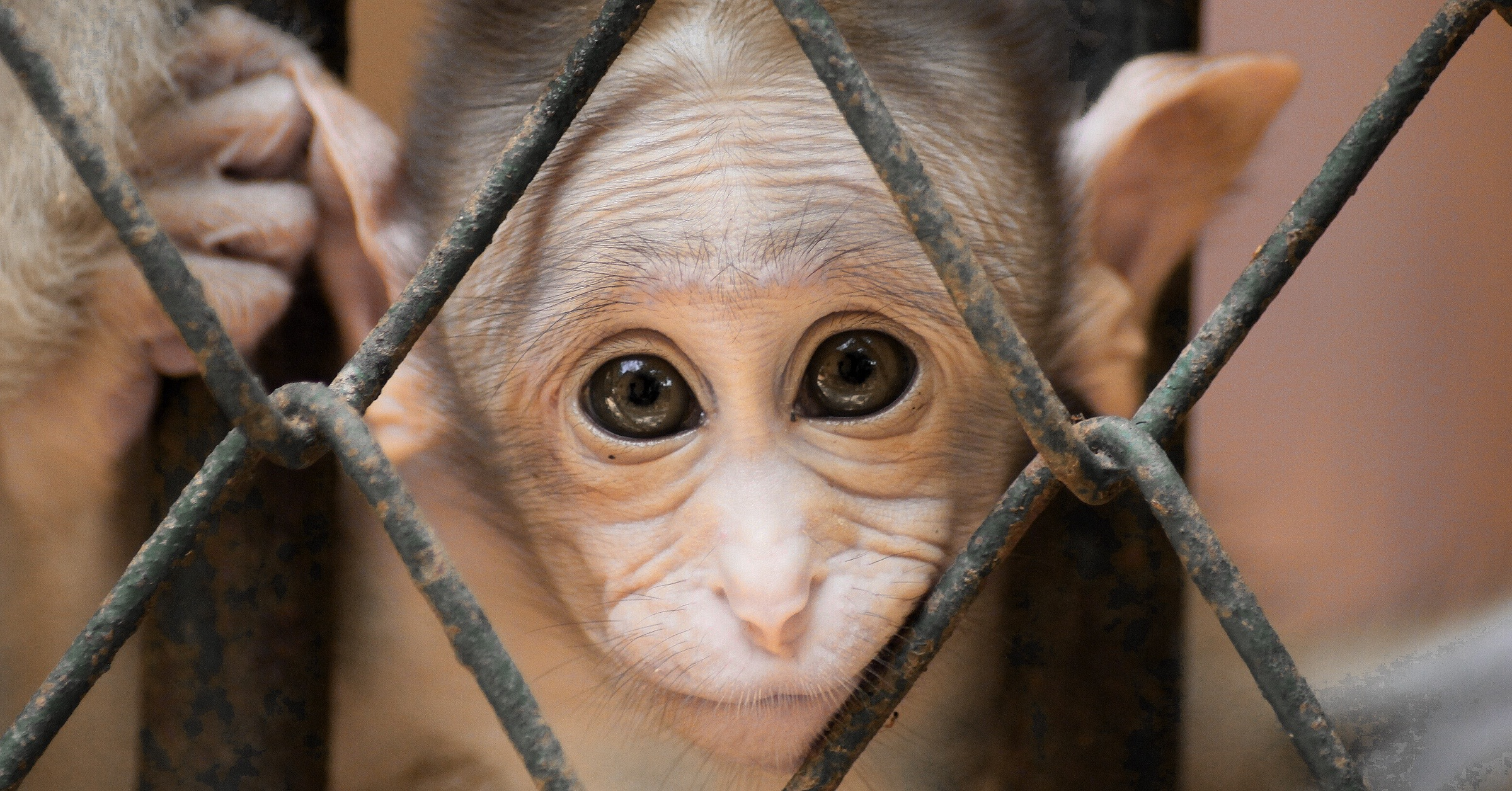 Image of a young monkey, shining eyes looking through its cage wires