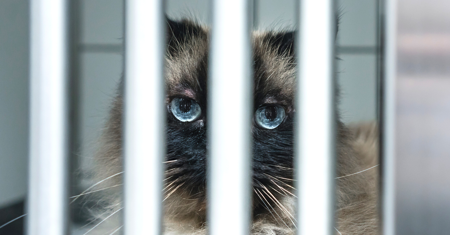 A photo of a blue-eyes cat peering through steel cage bars