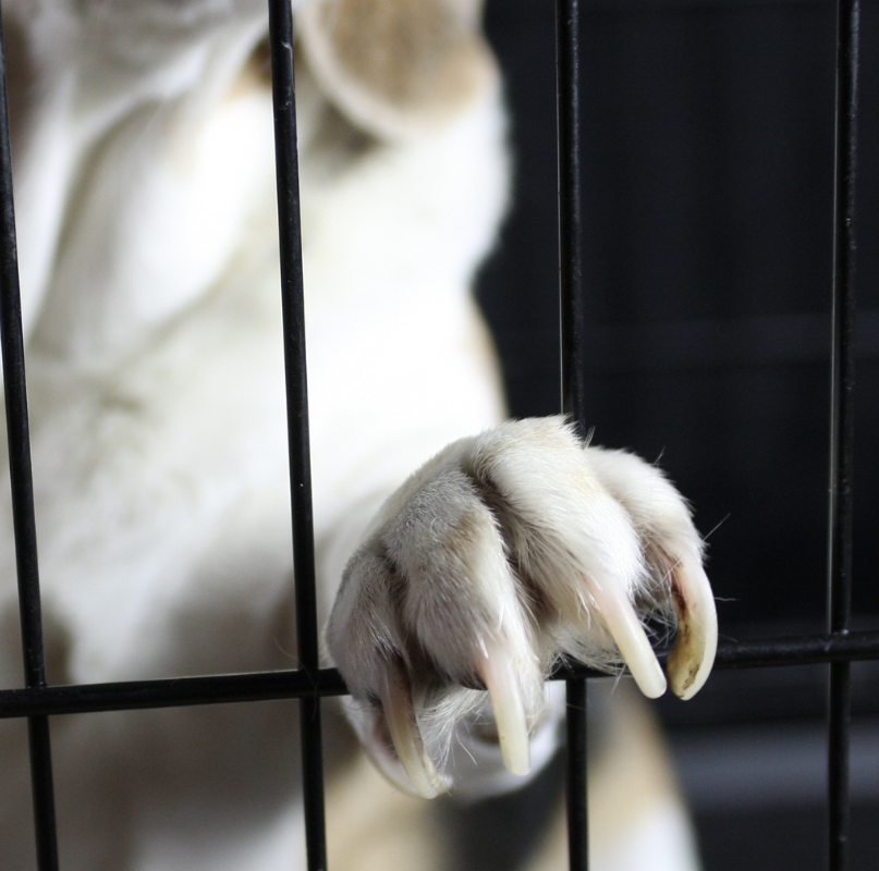 A beagle's paw rests on cage bars