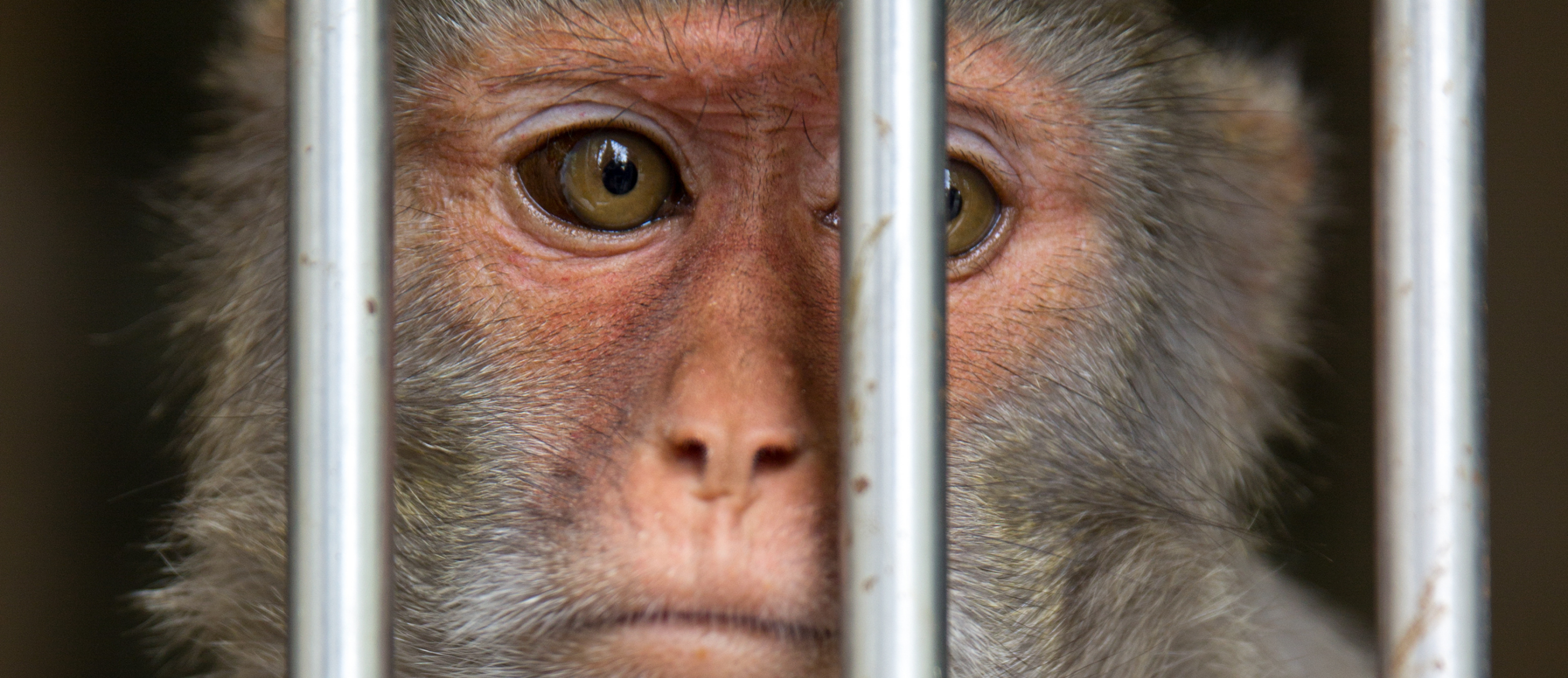 Image of a caged macaque